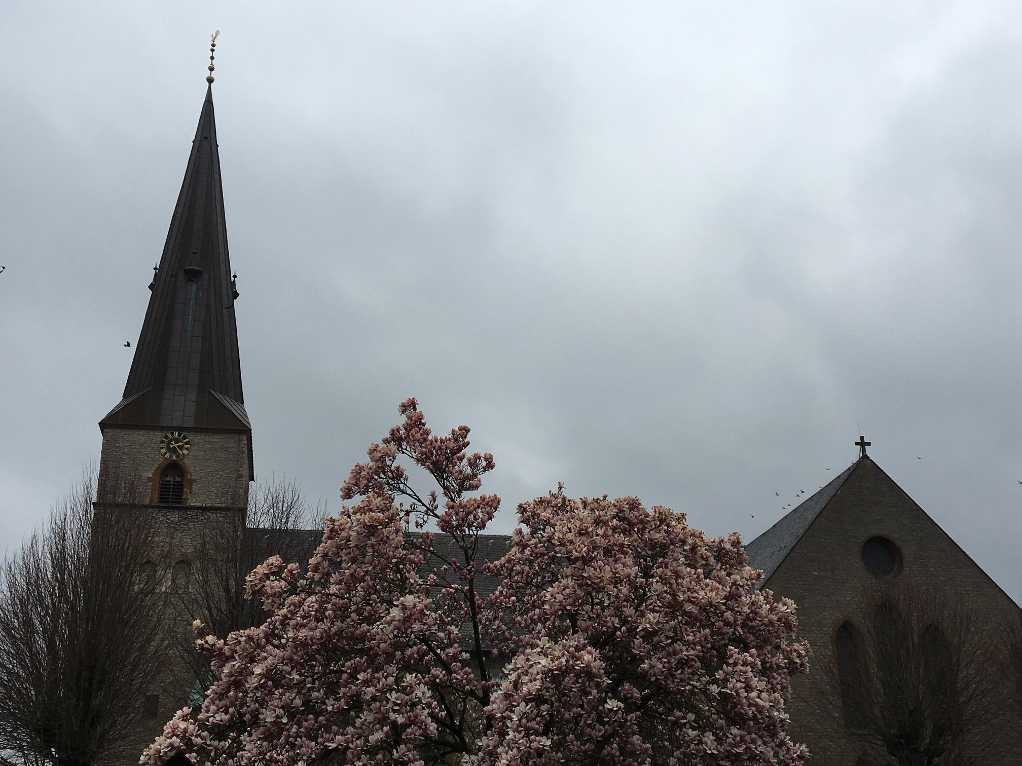 Magnolienblüte an der St. Jacobi Kirche in Werther (Westf.)