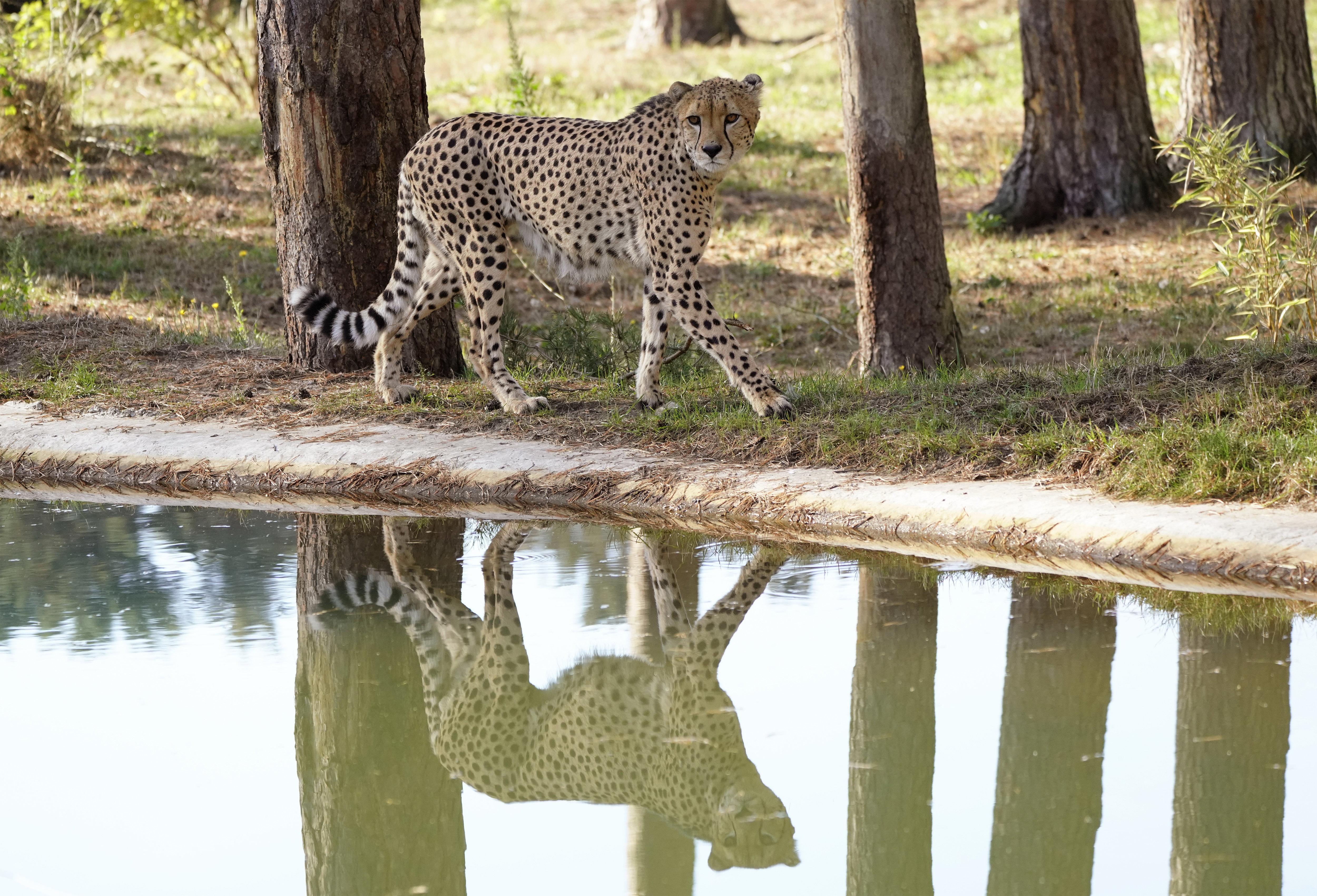 serengeti-safari-gepard