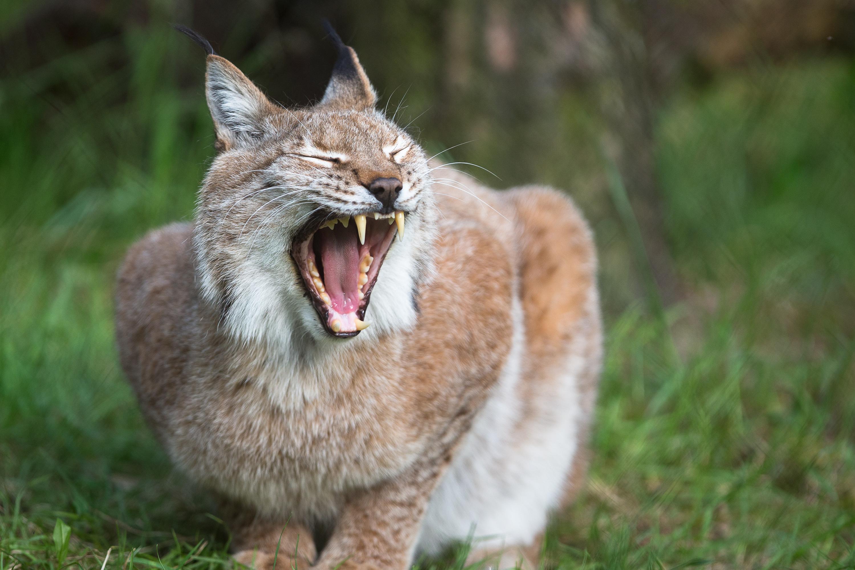 wildpark-lueneburger-heide-wildkatze