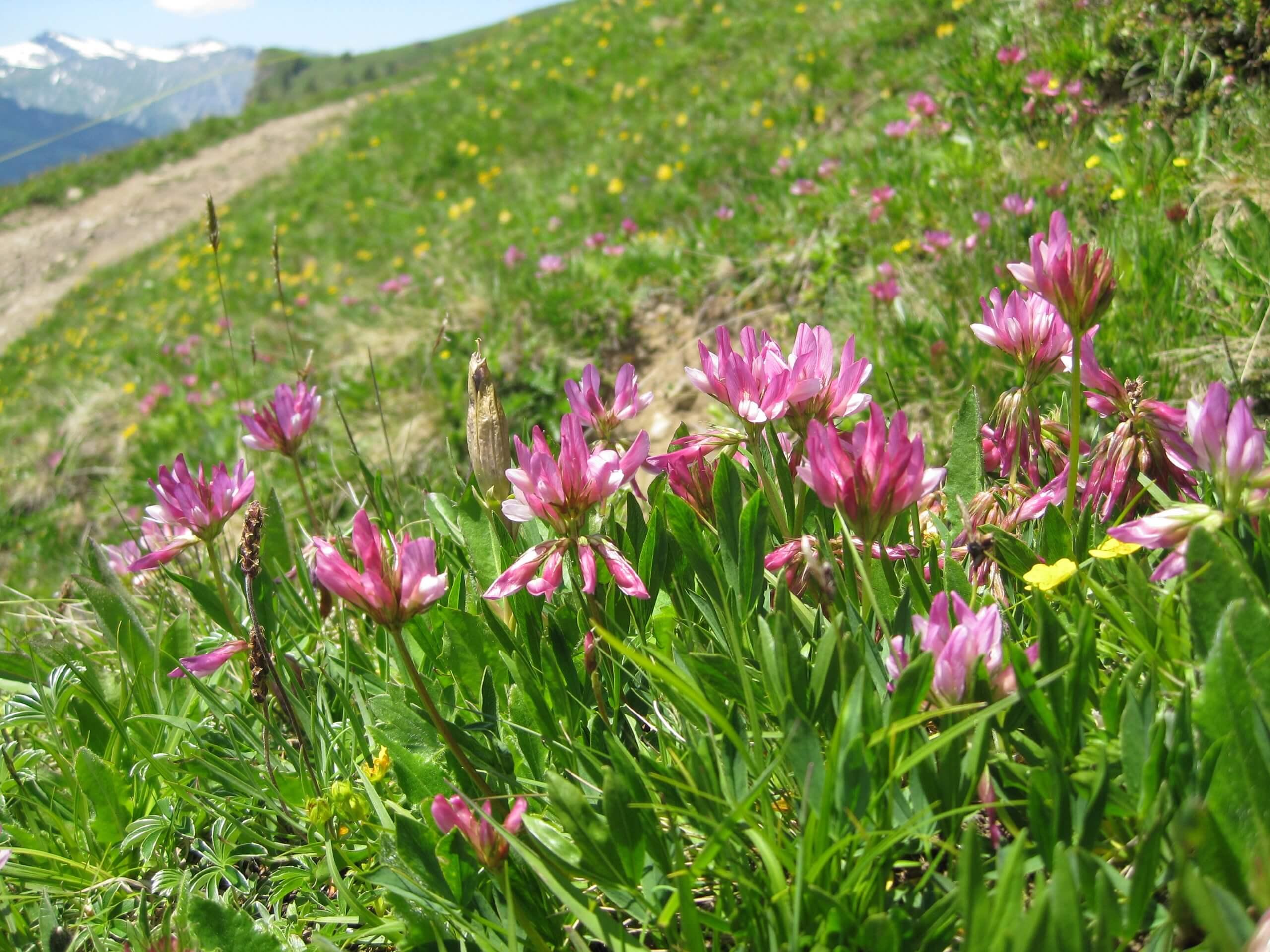 aeschi-suldtal-botanische-exkursionen-sommer-blumen