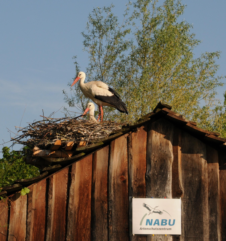 Junges Storchenpaar im Nabu-Artenschutzzentrum in Leiferde in der Südheide Gifhorn