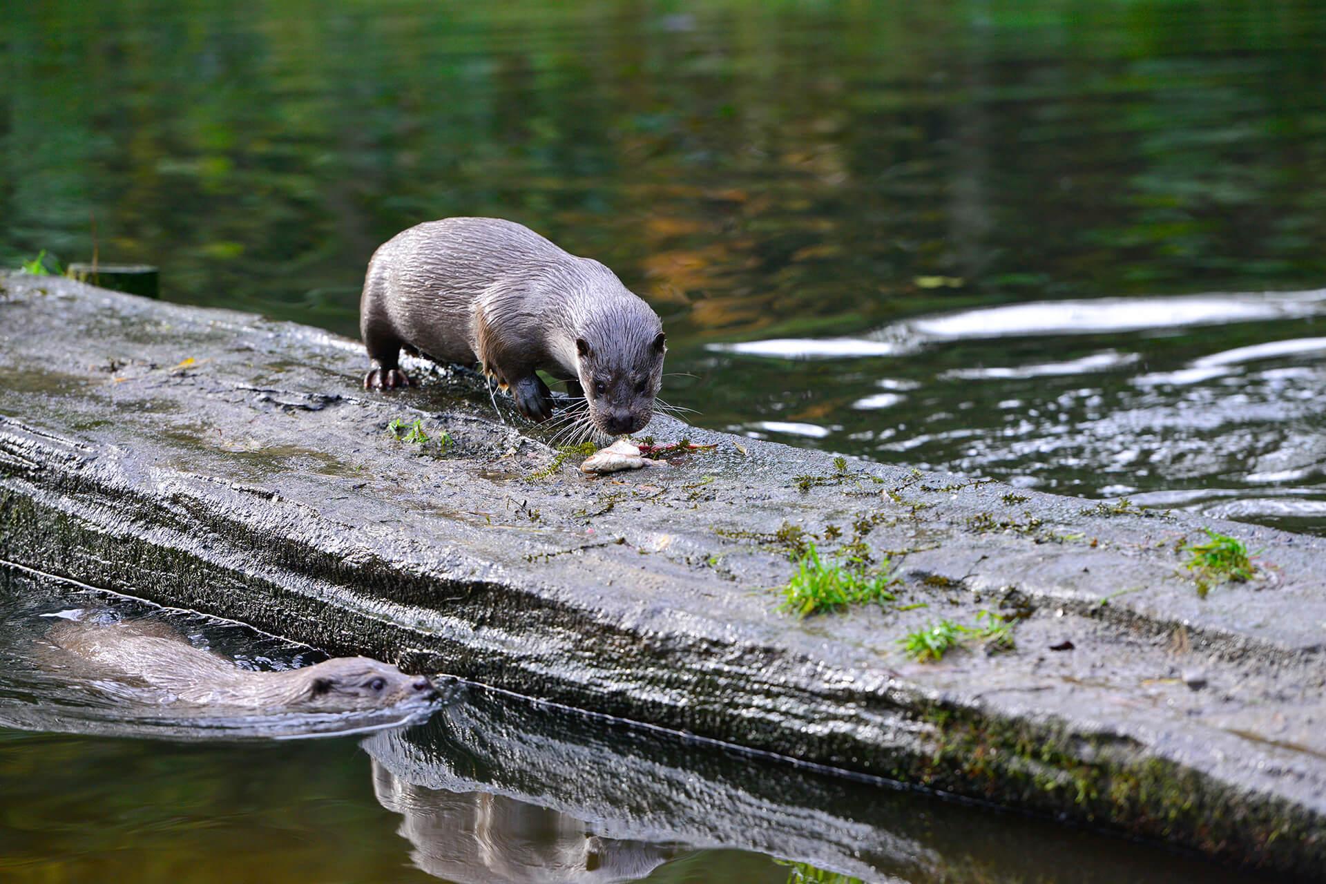 Otter frisst einen Fisch im Otter-Zentrum in Hankensbüttel