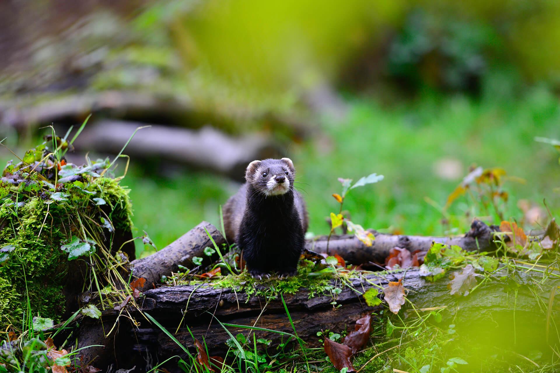 Iltis im Otter-Zentrum