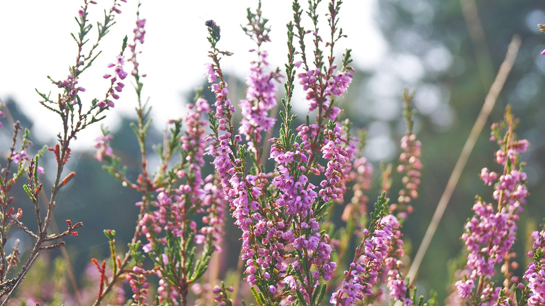 Heidepflanze in der Gifhorner Heide