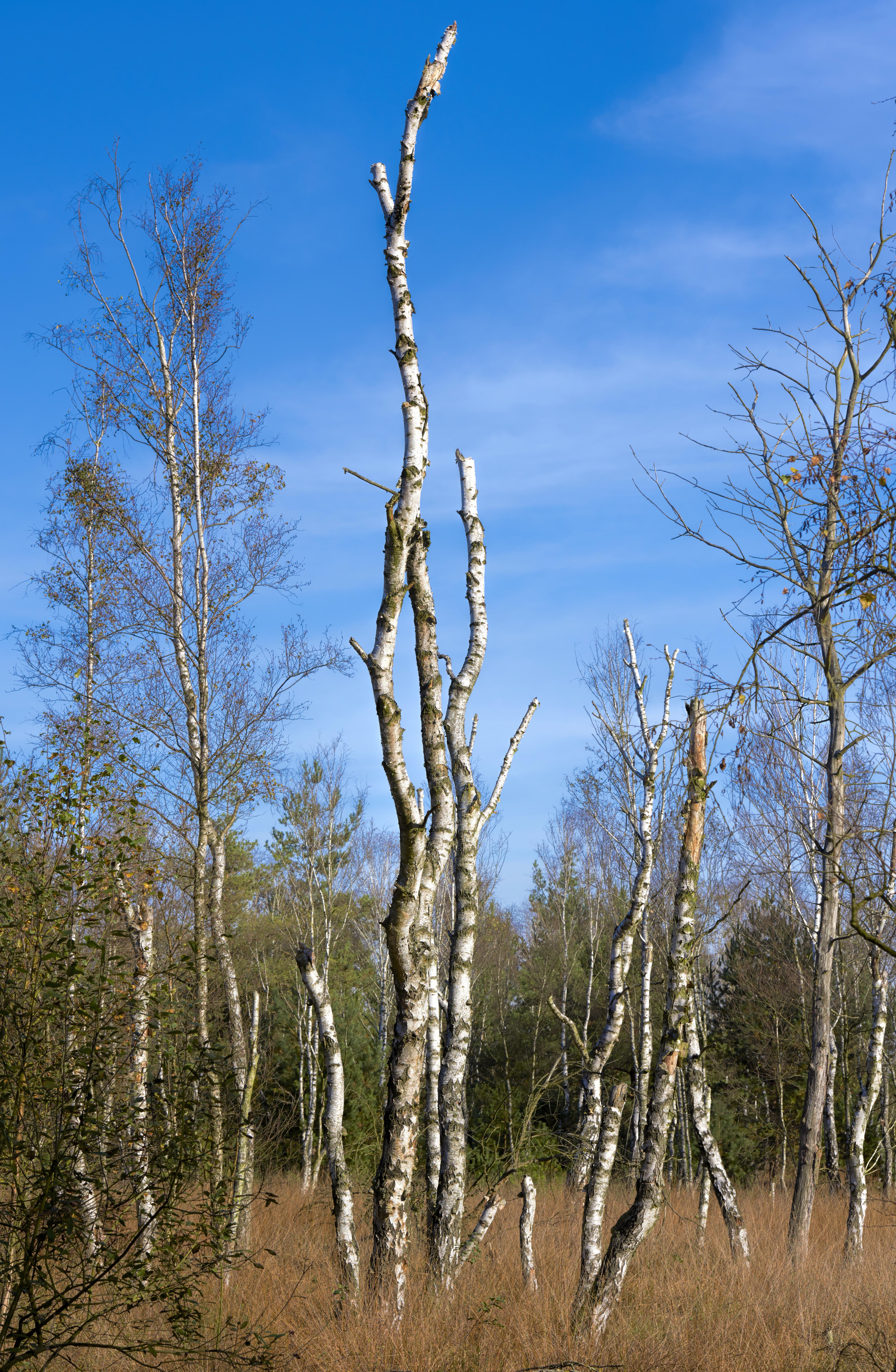 Birken Totes Moor