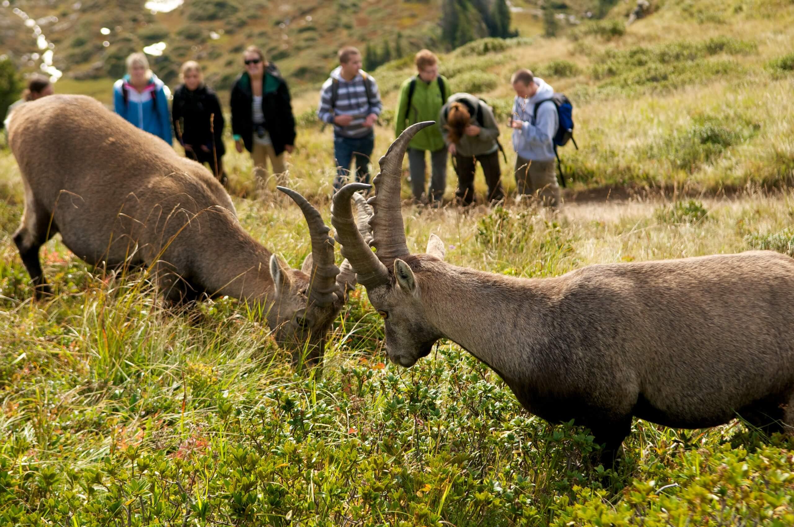 niederhorn-wildbeobachtungen-herbst-steinboecke-gefuehrte-touren