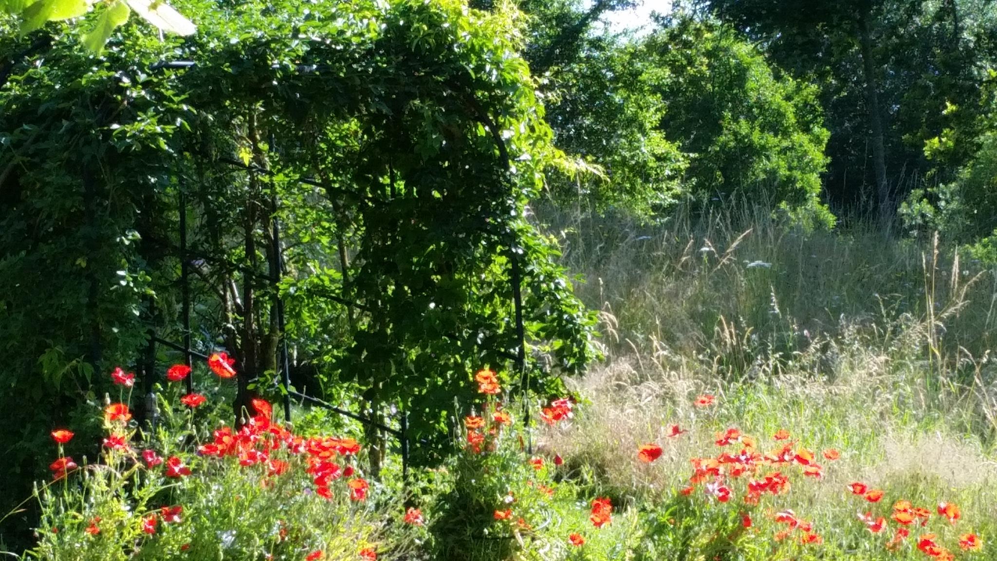 Eine Mohnwiese im Heilpflanzengarten Celle