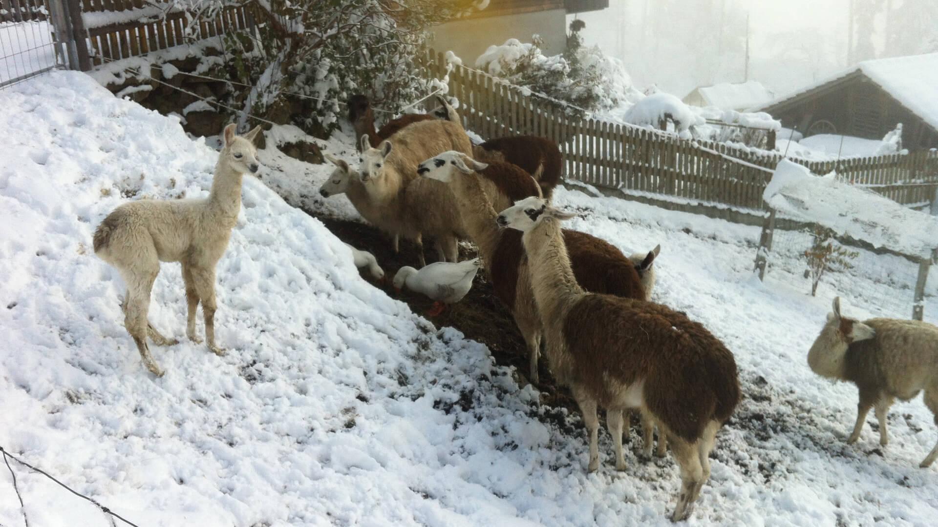 beatenberg-lama-winterwandern-2