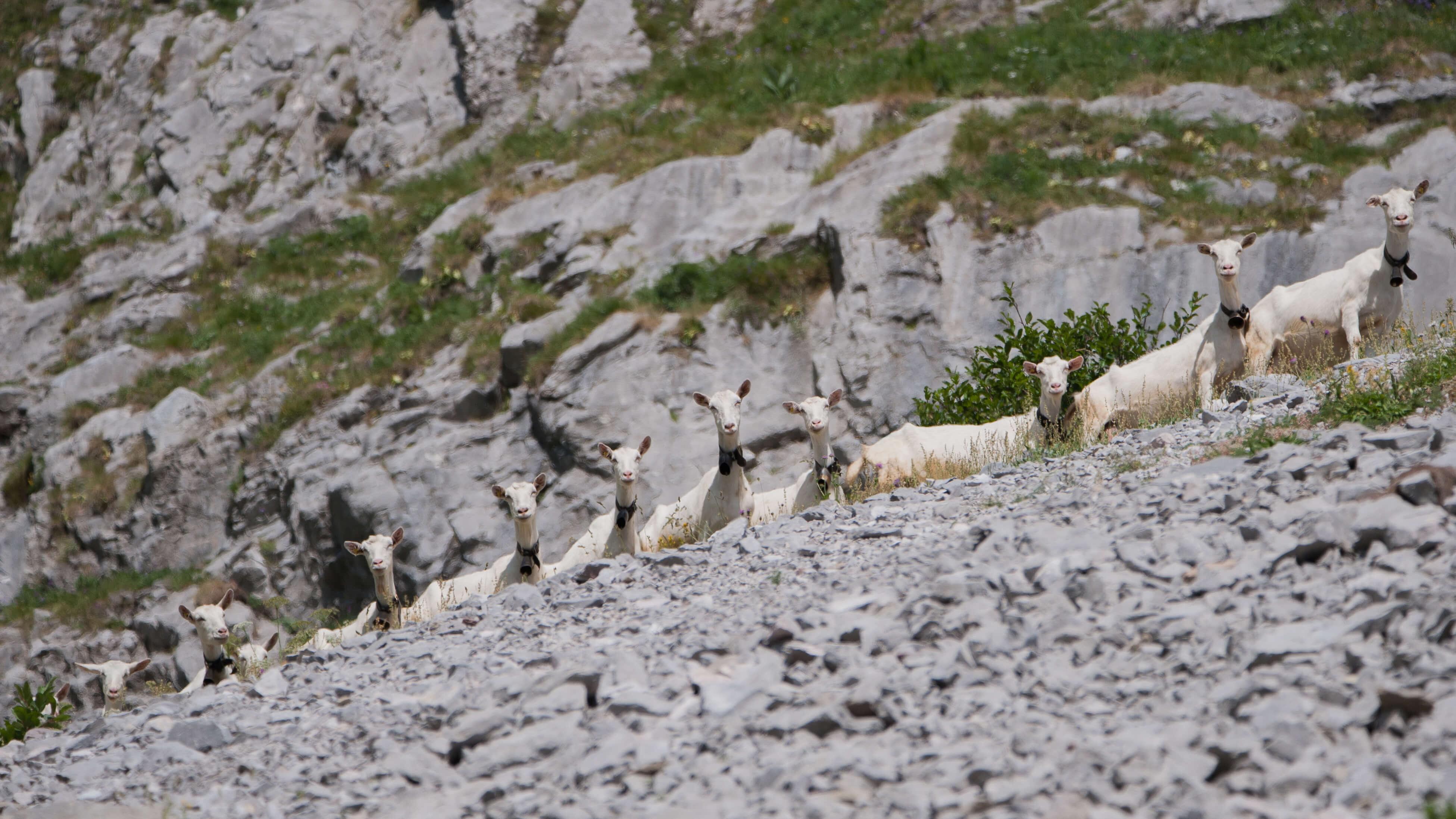 Ziegen auf der Alp