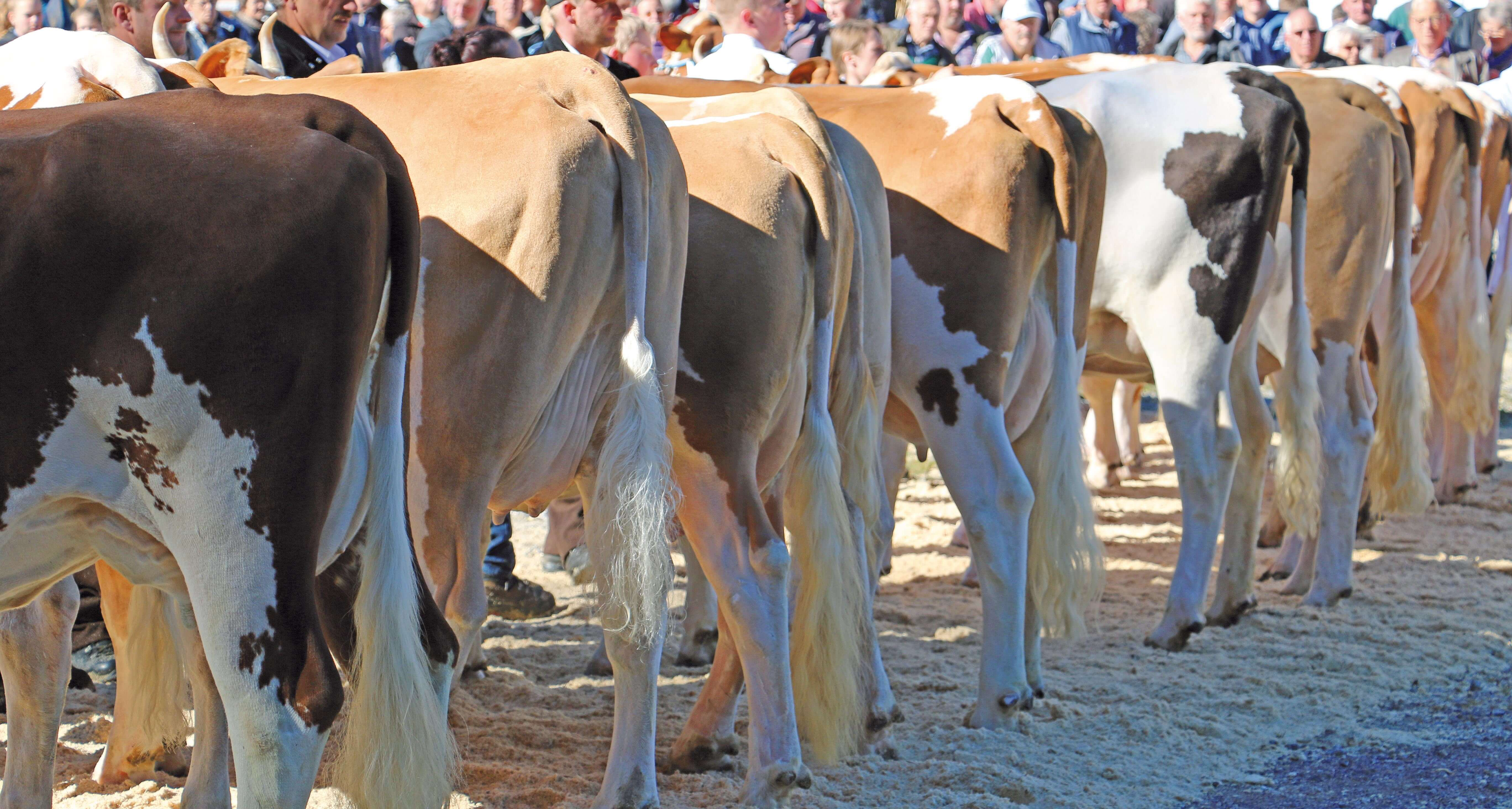 Sauber geputzte Kühe für die Präsentation und Bewertung