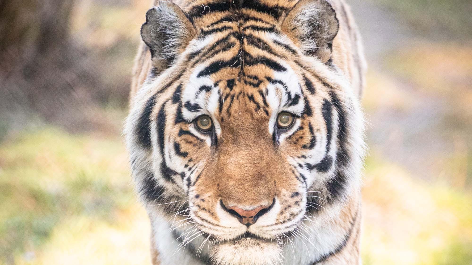 wildpark-luenburger-heide-tiger.jpg