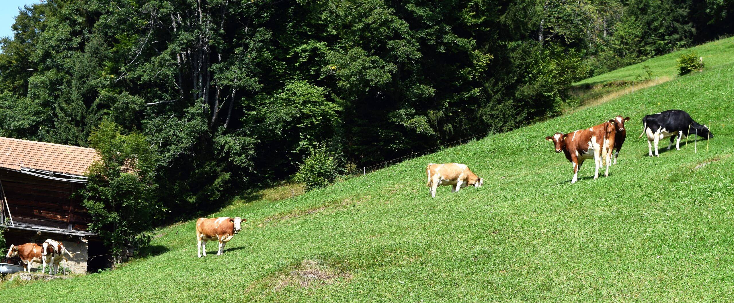 beatenberg-stallvisite-kuhwiese-bauernhof-sommer