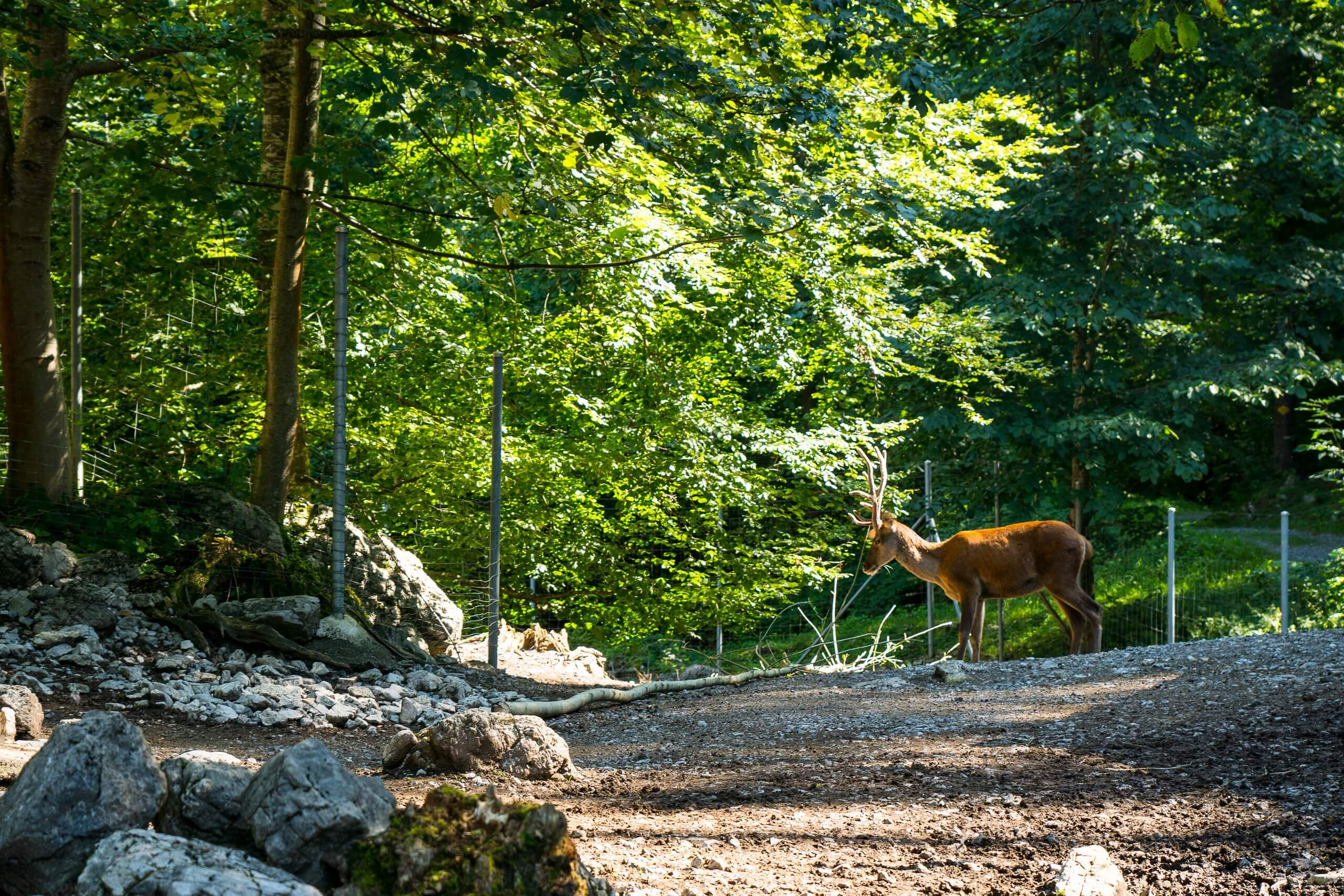 brienz-wildpark-hirsch