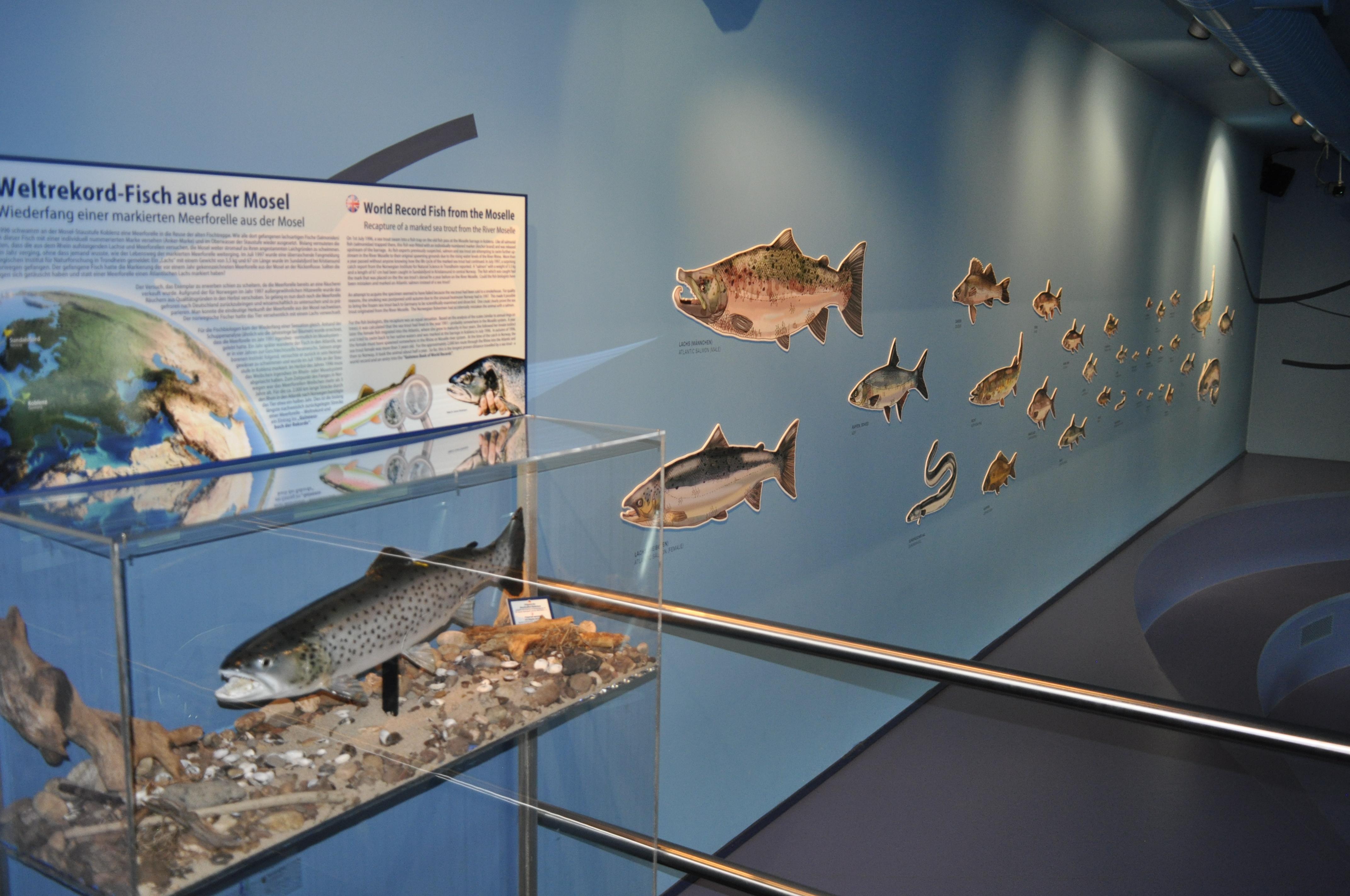 Mosellum Koblenz , Wanderfische