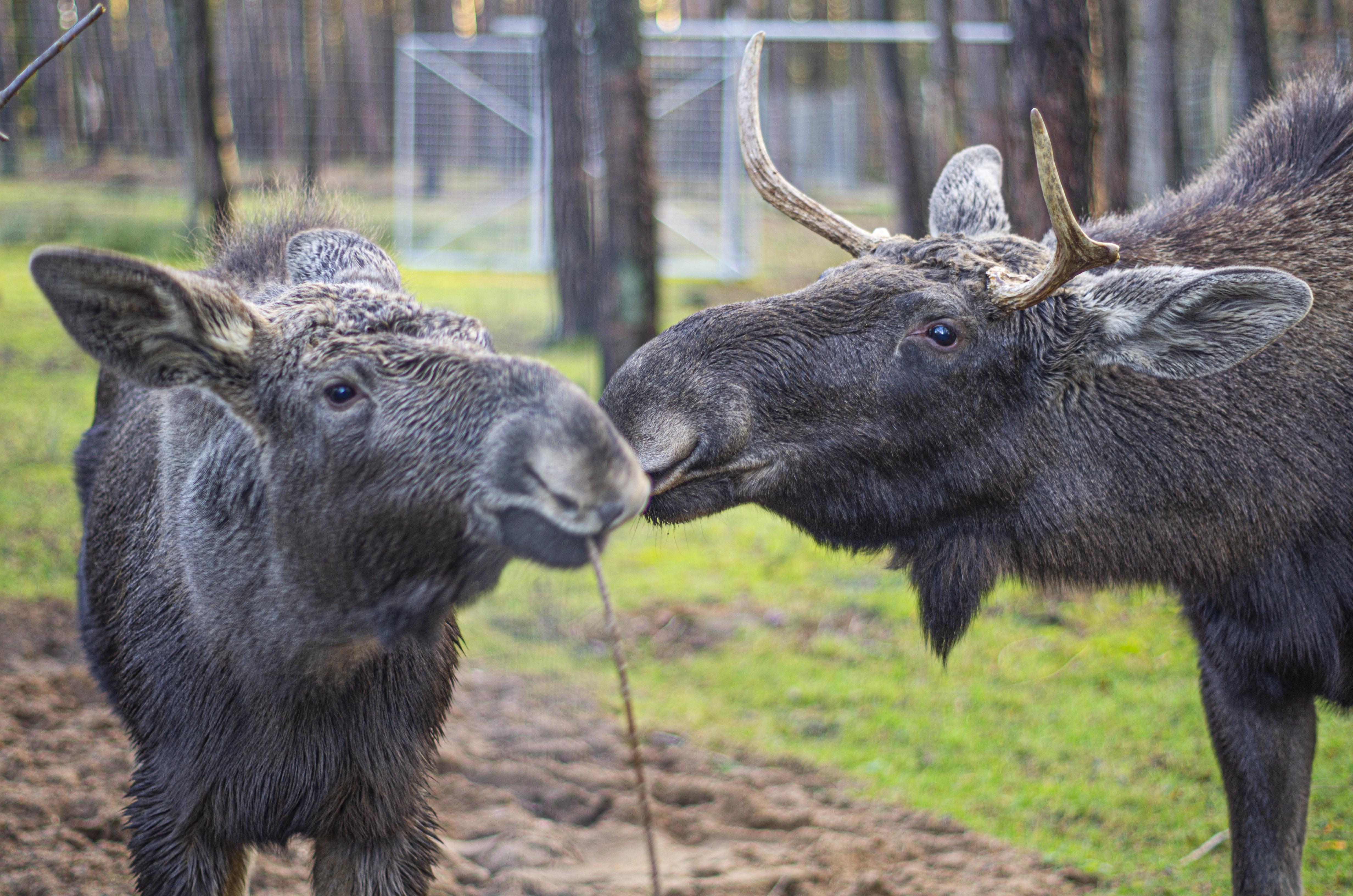 europaeische-elche-im-wildpark-m-den