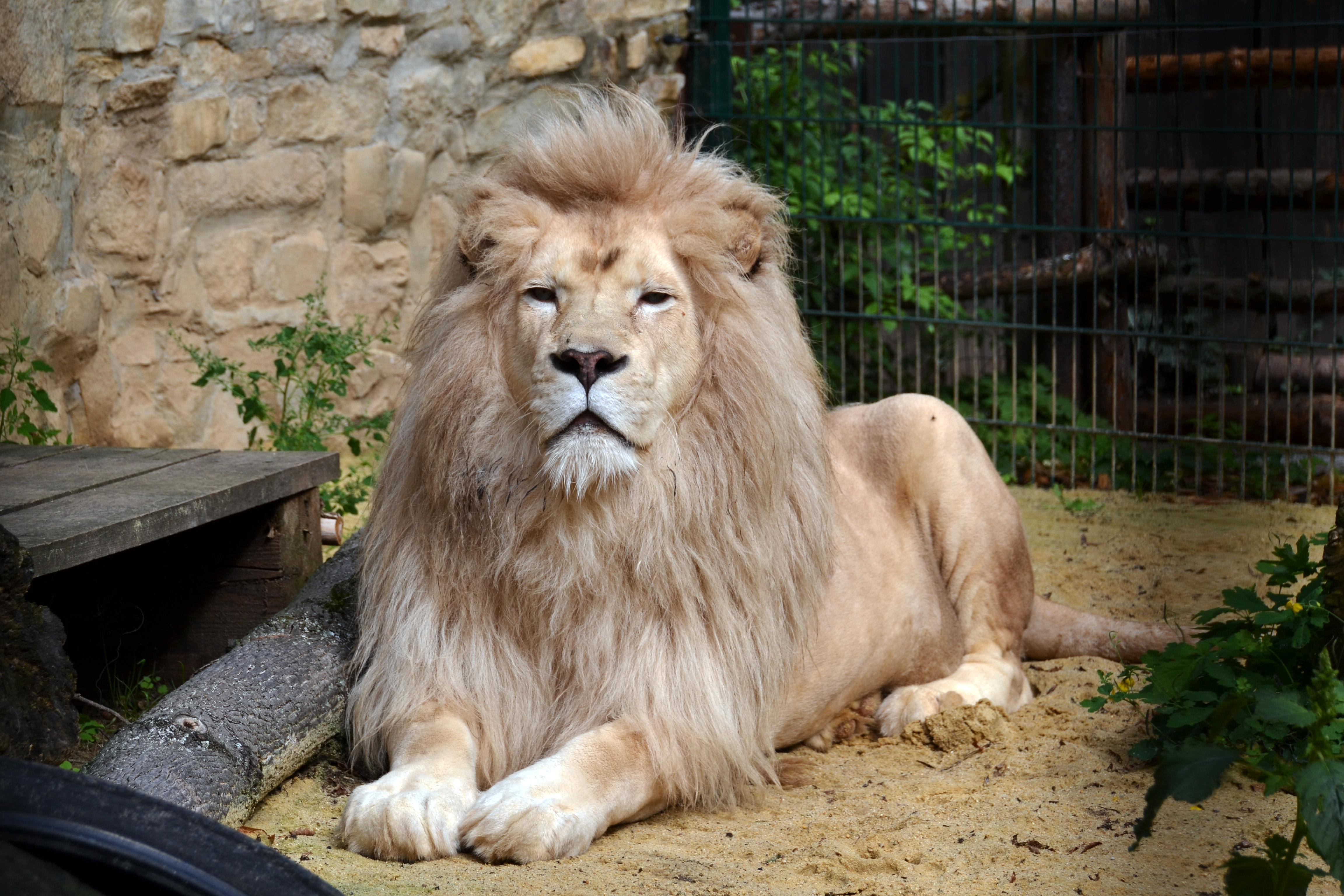 Der Löwe im Zoo Aschersleben