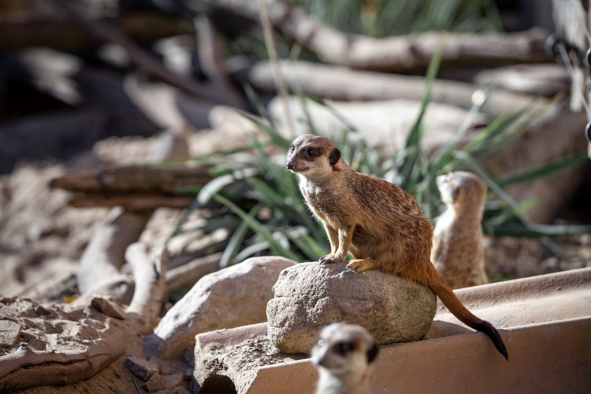 Erdmännchen im Zoo Aschersleben