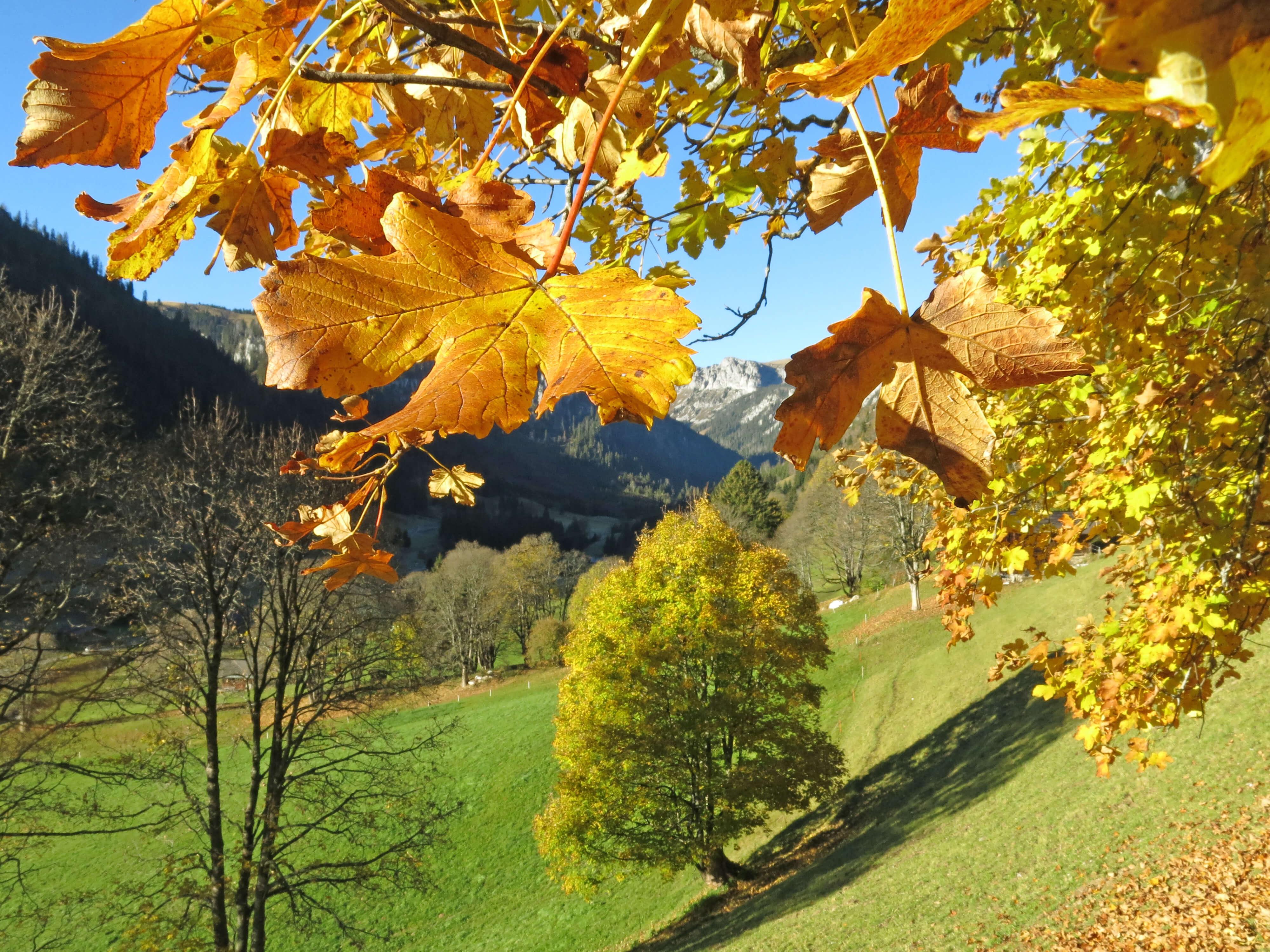 Herbstliche Ausblicke unter einem Bergahorn