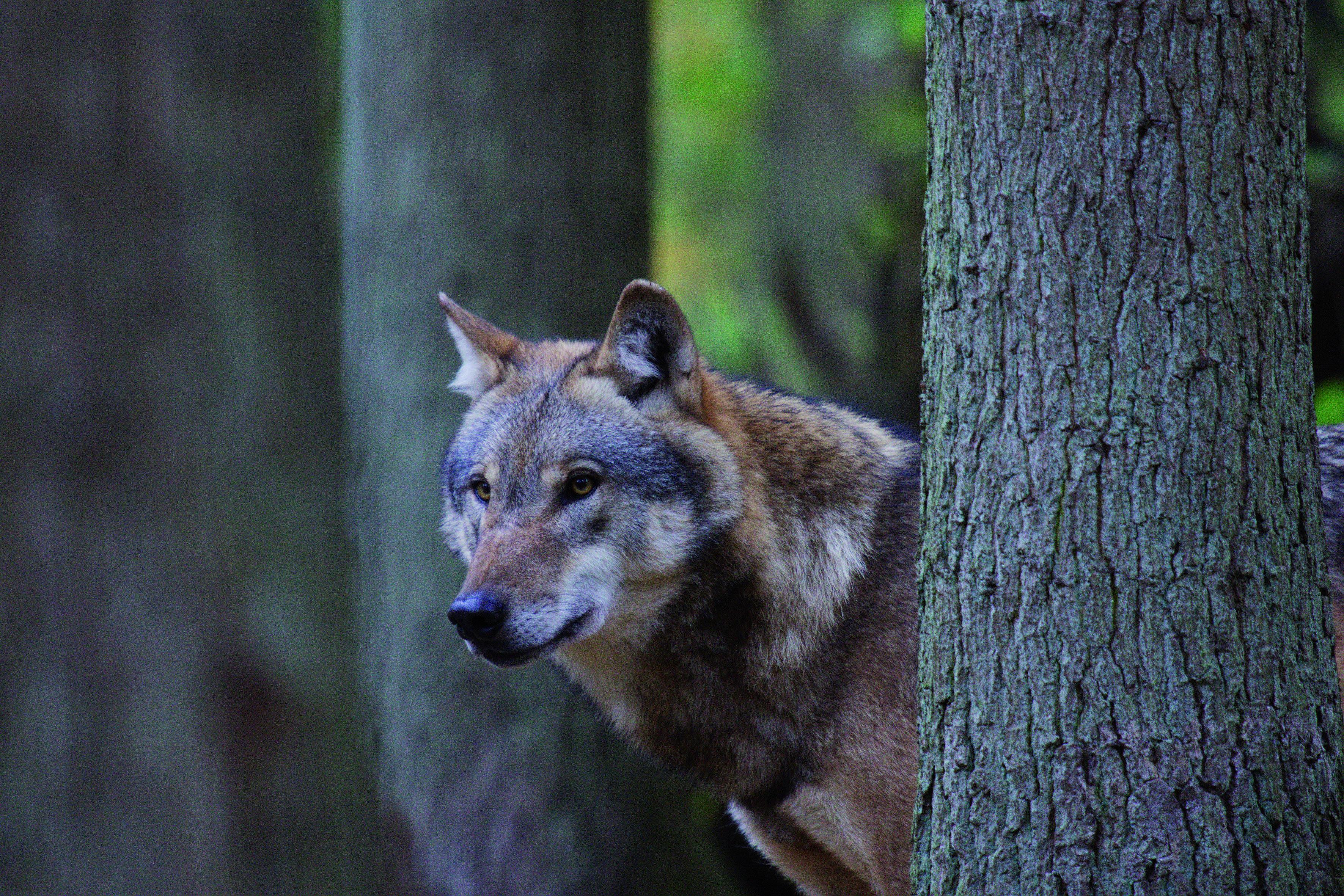 doerverden-wolfcenter-wolf-im-wald