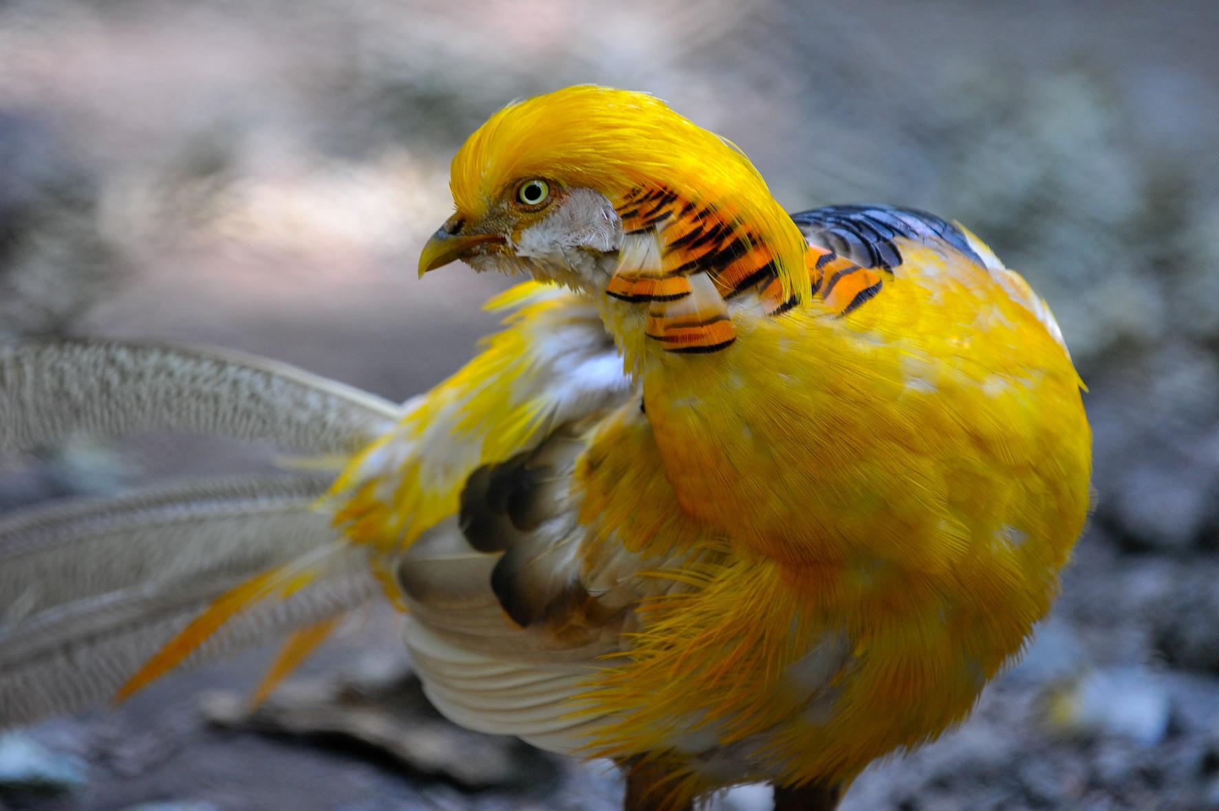Wald-Vogelstation-Goldfasan