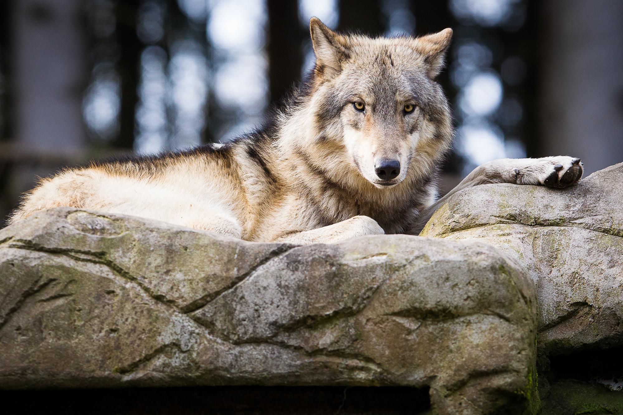 wolf-lueneburger-heide