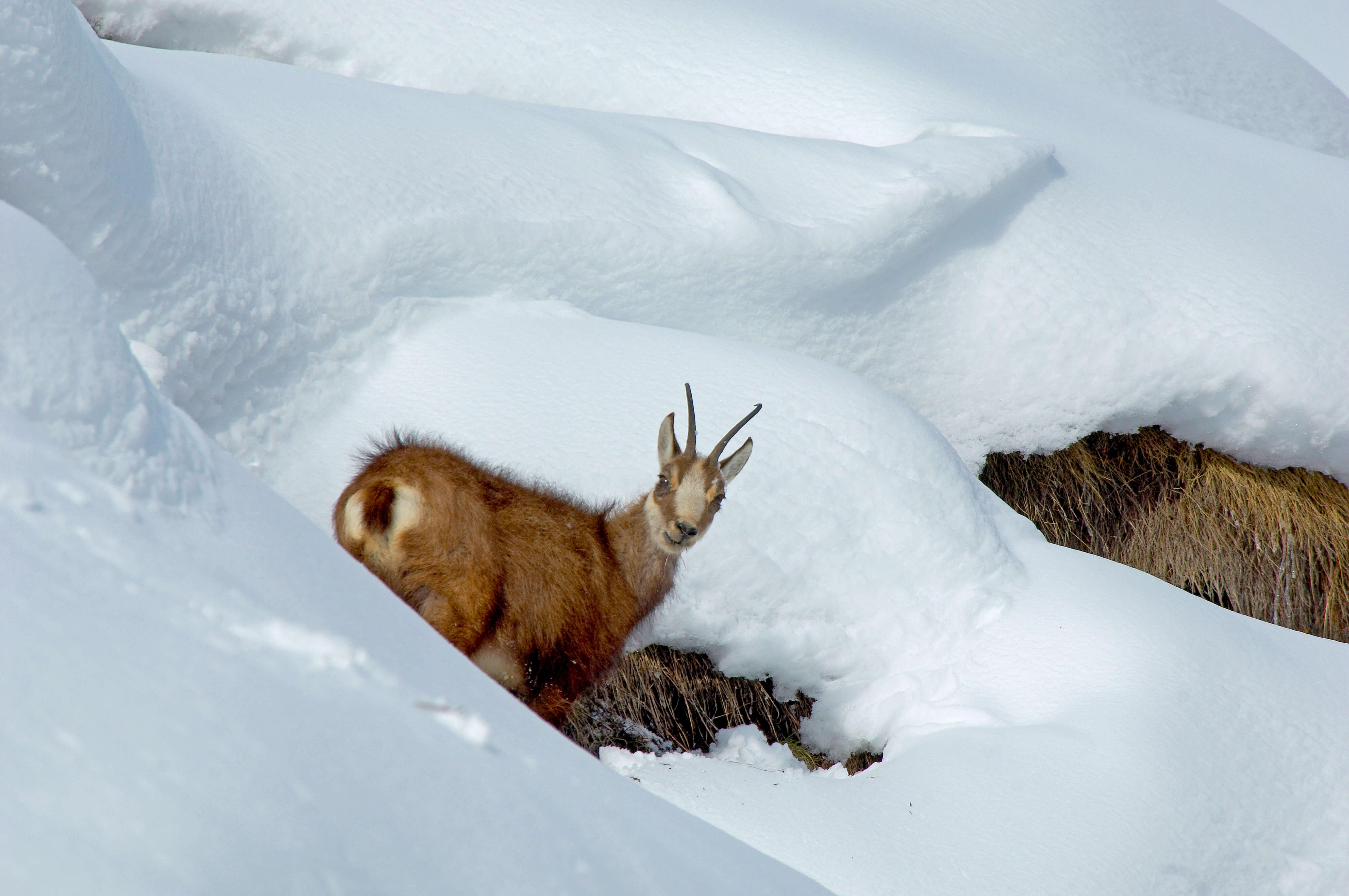 Gämse im Schnee