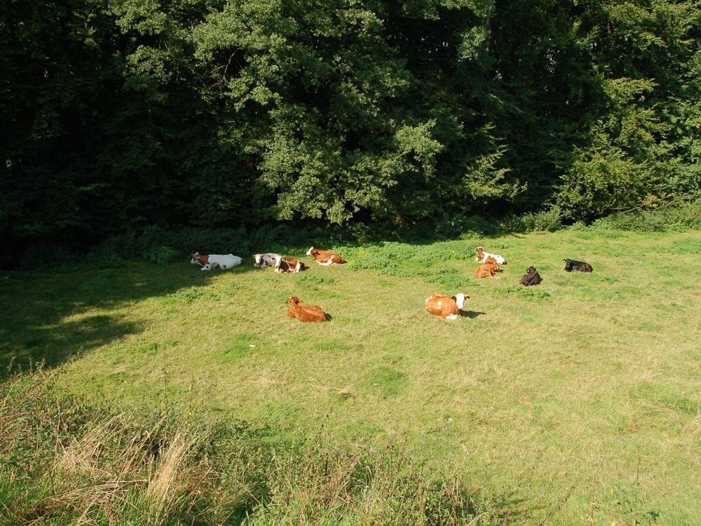 Rinder im NSG Warmenau