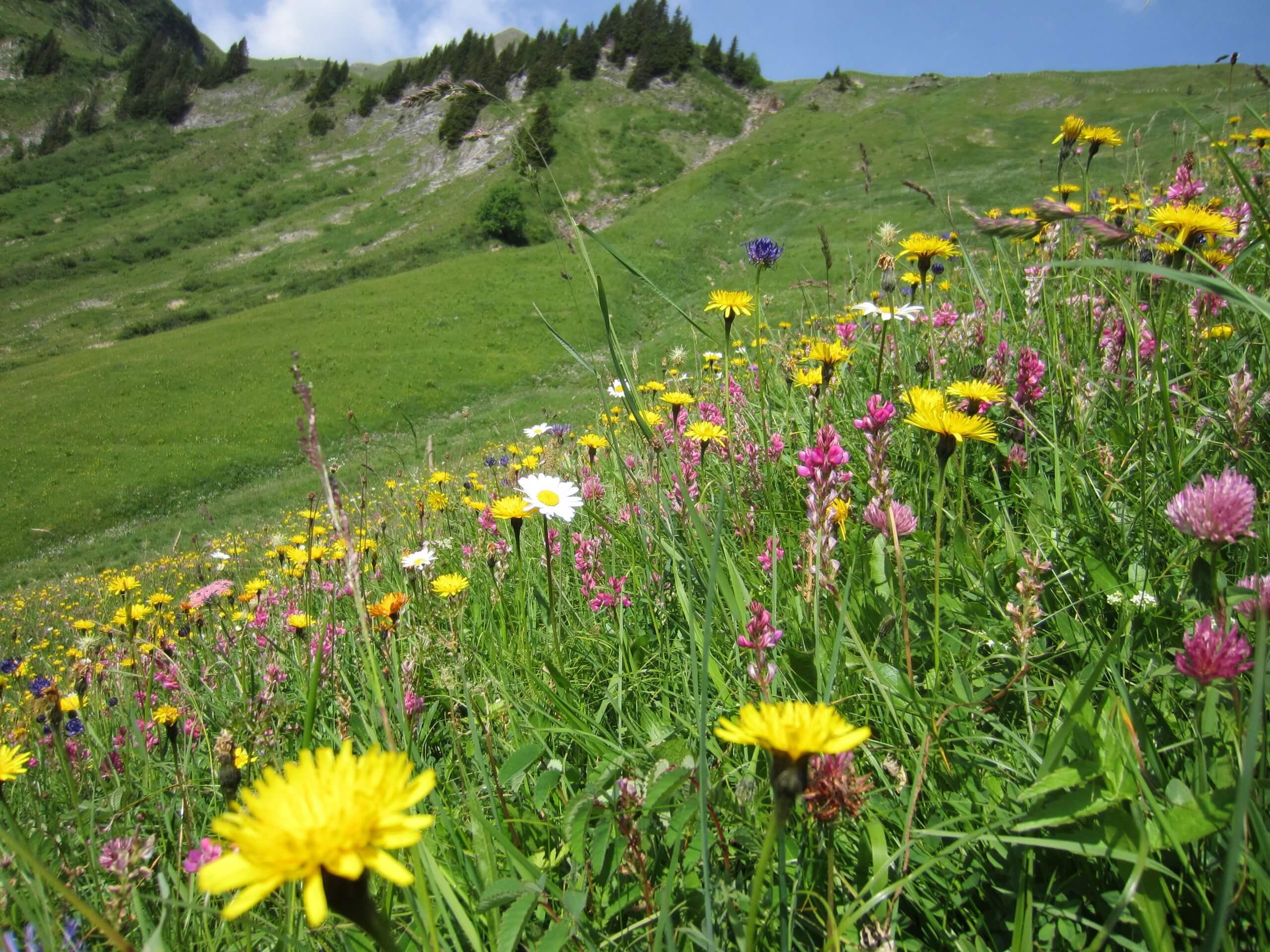aeschi-suldtal-botanische-exkursionen-sommer