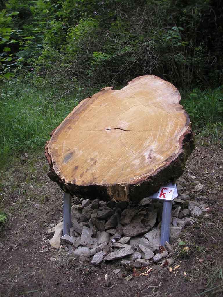 Baumringe geben Einblick in die Klimageschichte