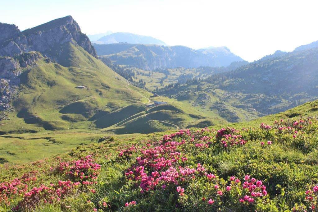Stierenberg Aussicht Alpenrosen Sommer Alpgefühl