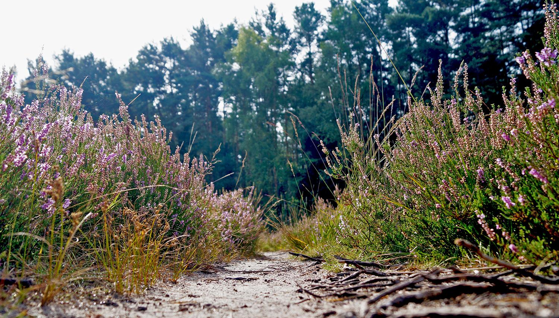 Detailaufnahme Heidepflanzen Gifhorner Heide