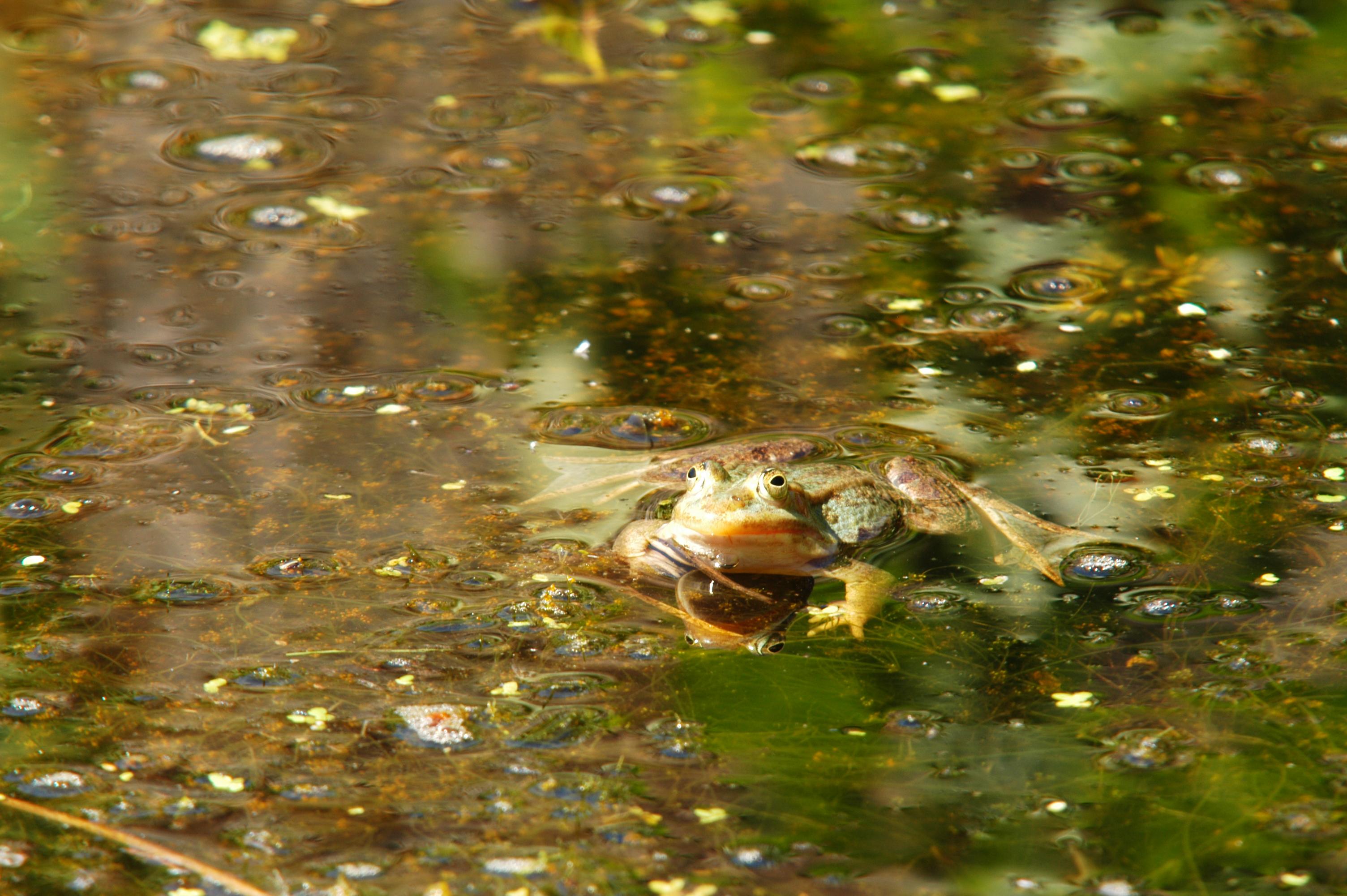 Frosch im Waldsee