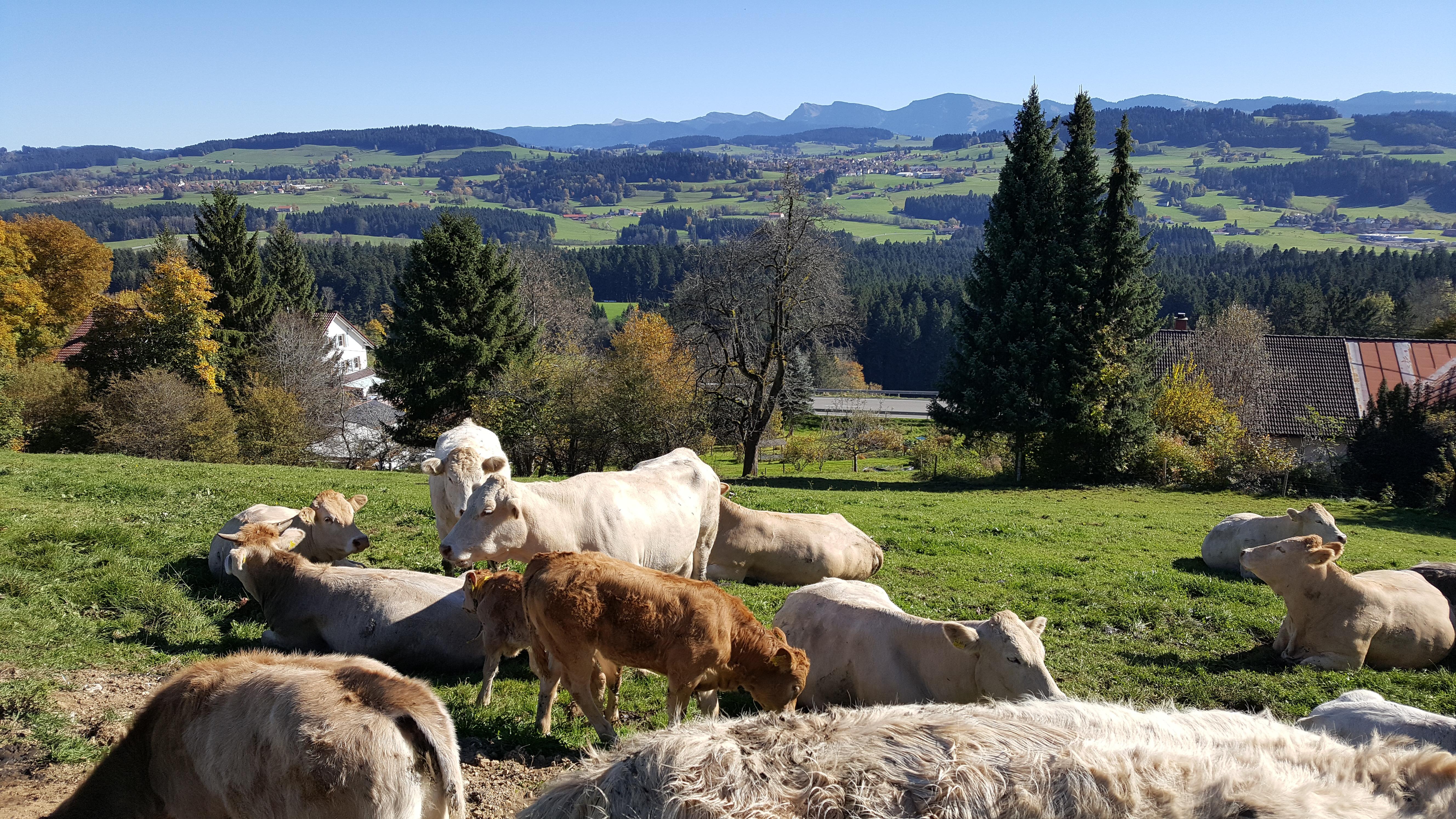 Kühe an der Alpenstraße