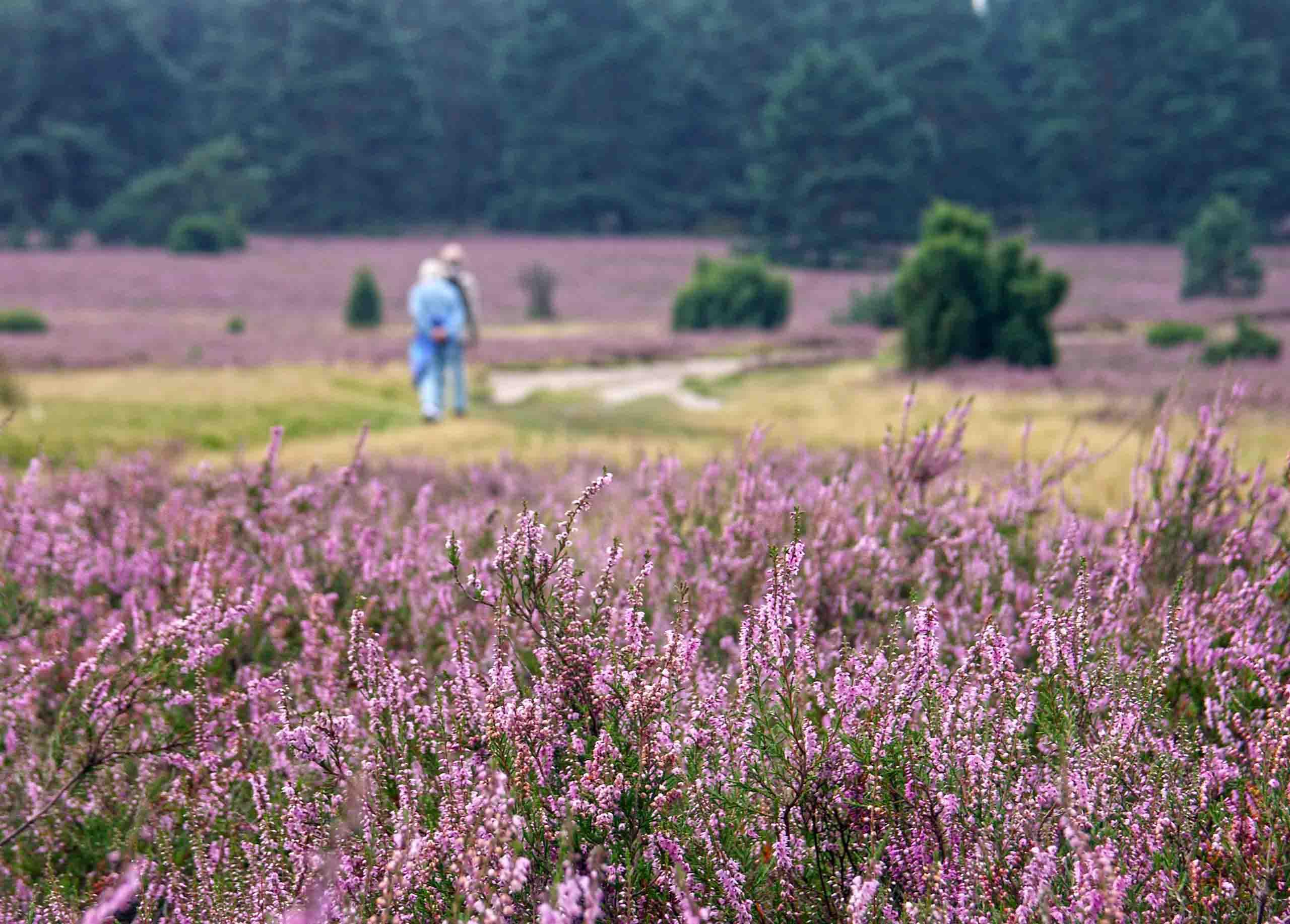 Zur Blüte in der Lüneburger Heide