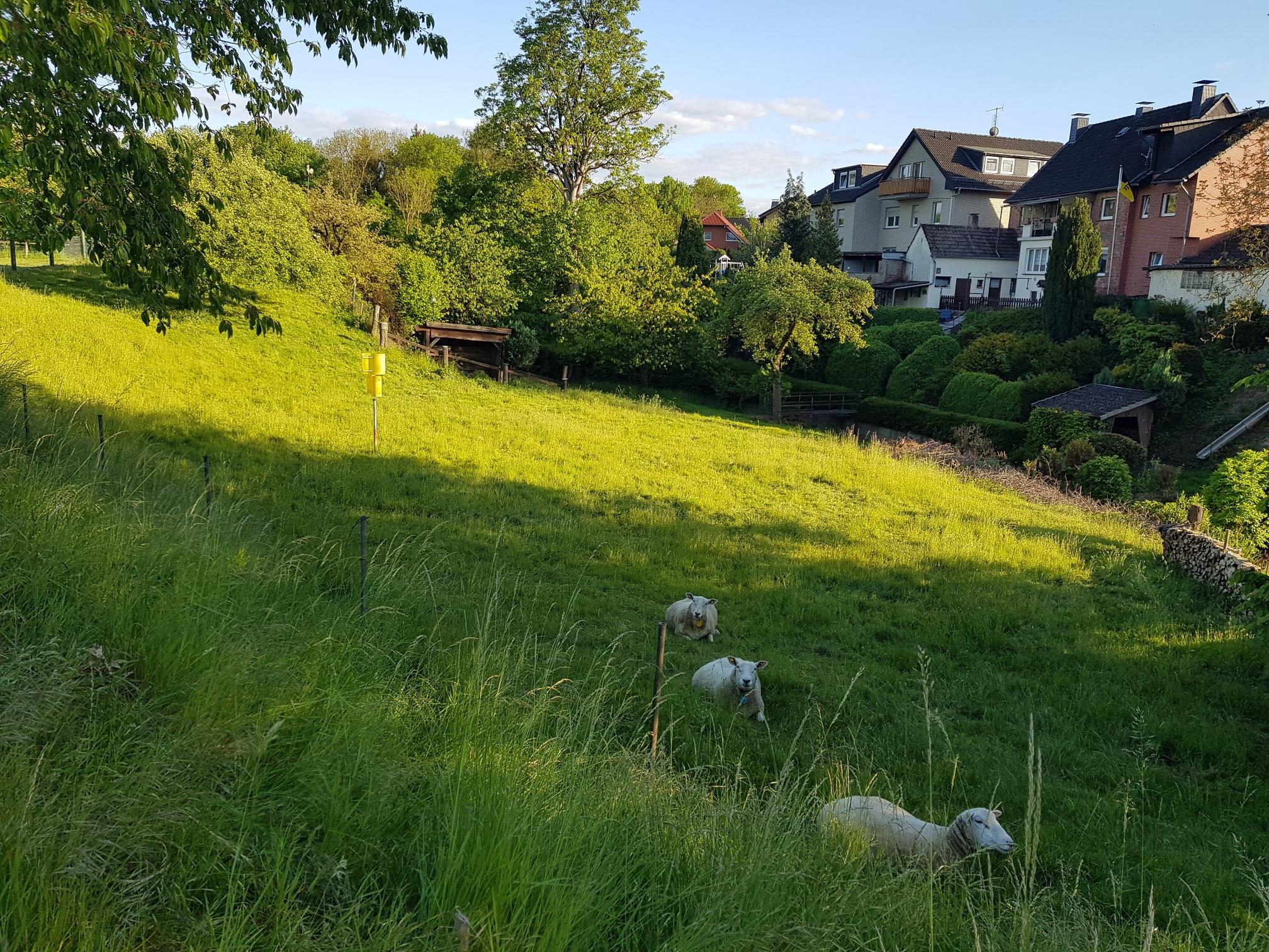 Schafswiese Albaxen