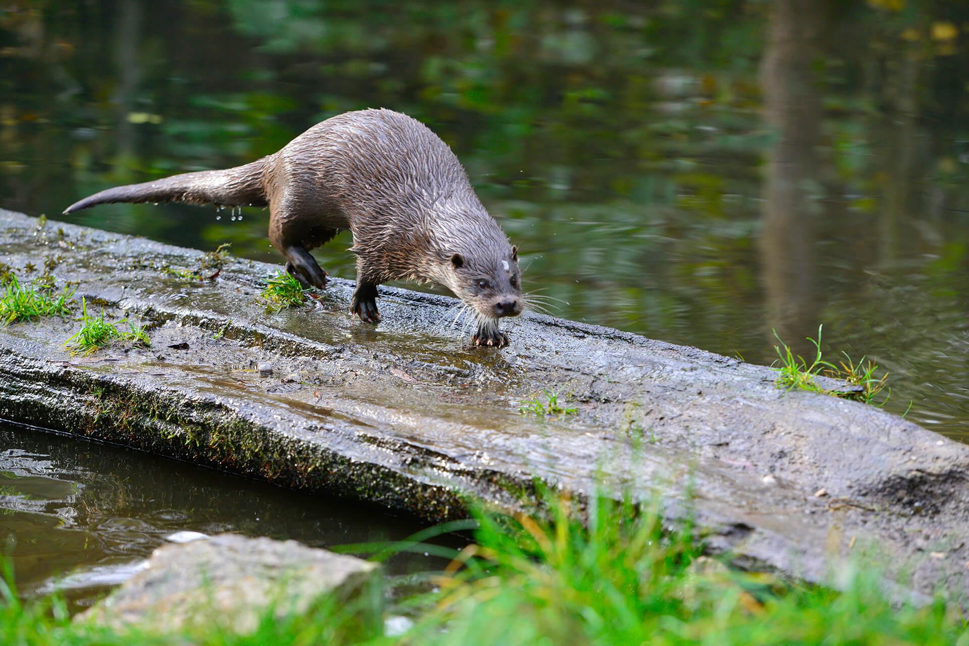 Otter im Otter-Zentrum