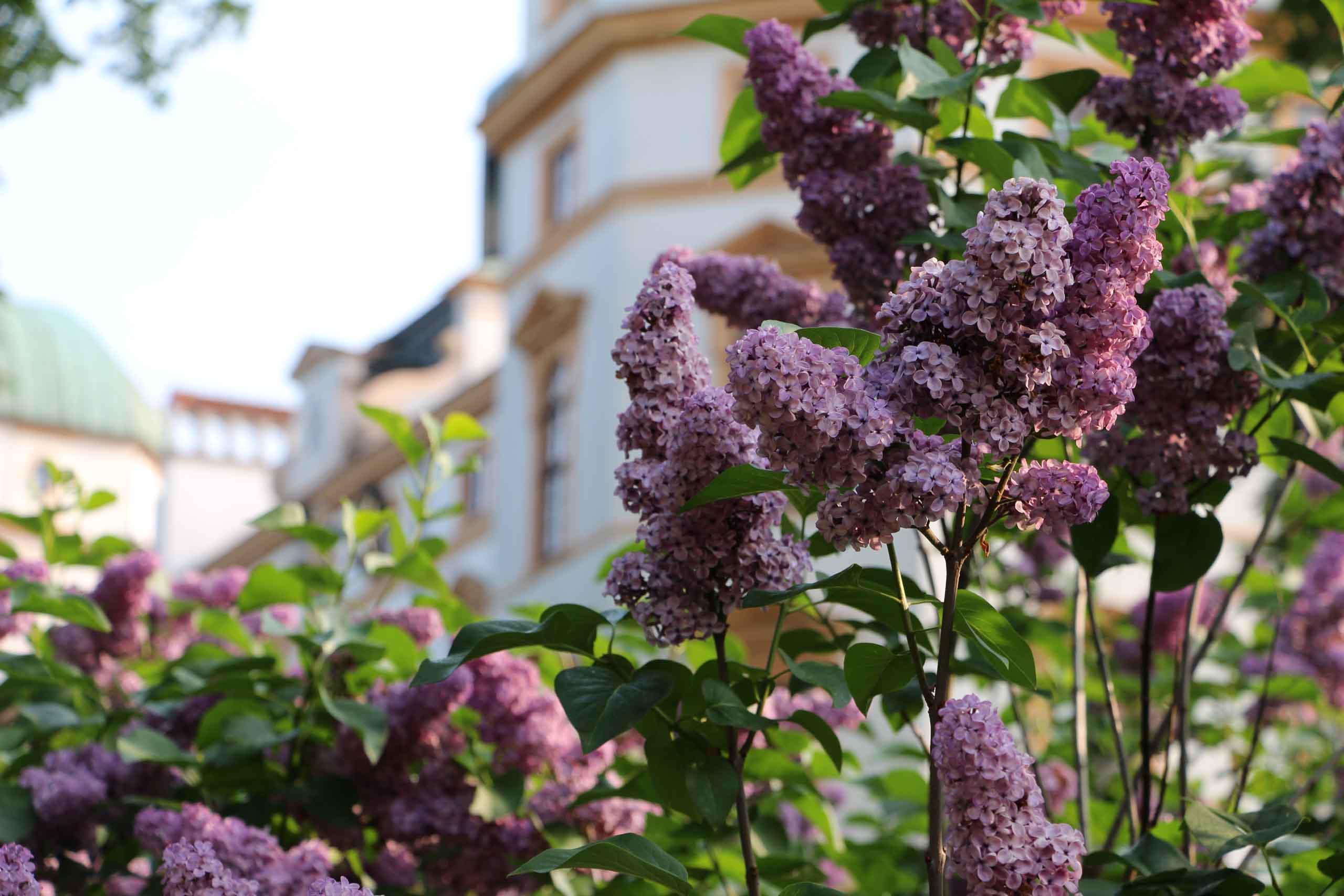 Schlosspark Celle, Flieder