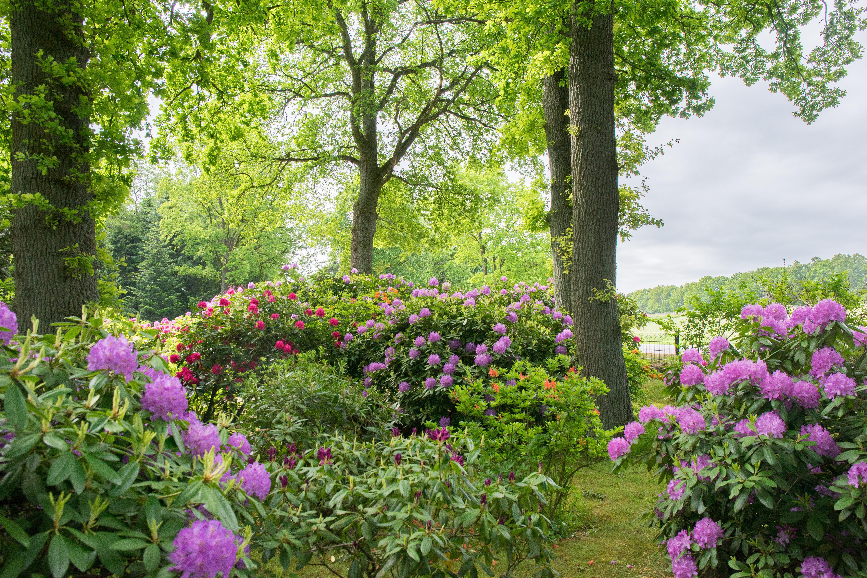 blühende-rhododendren