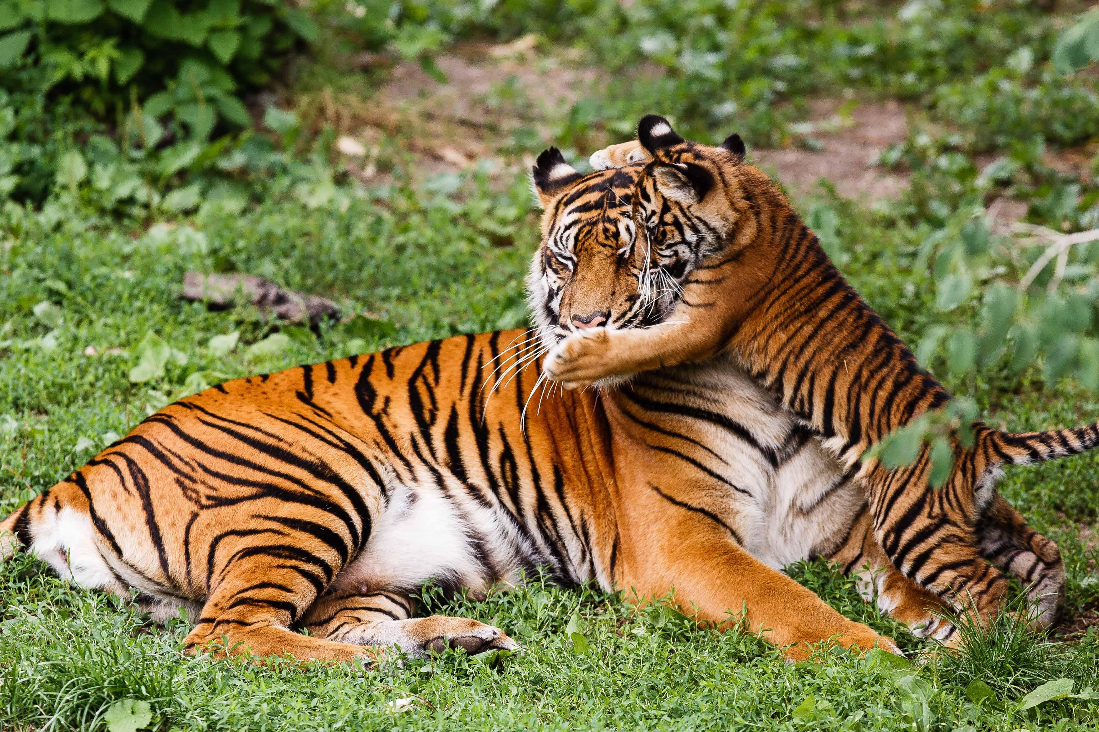 KW_16c_Tigerin_Dumai_wird_20_Jahre_17.04.2020_Bild_4_Archivfoto_Harald_Löffler_-_Eye_of_the_Tiger.jpg