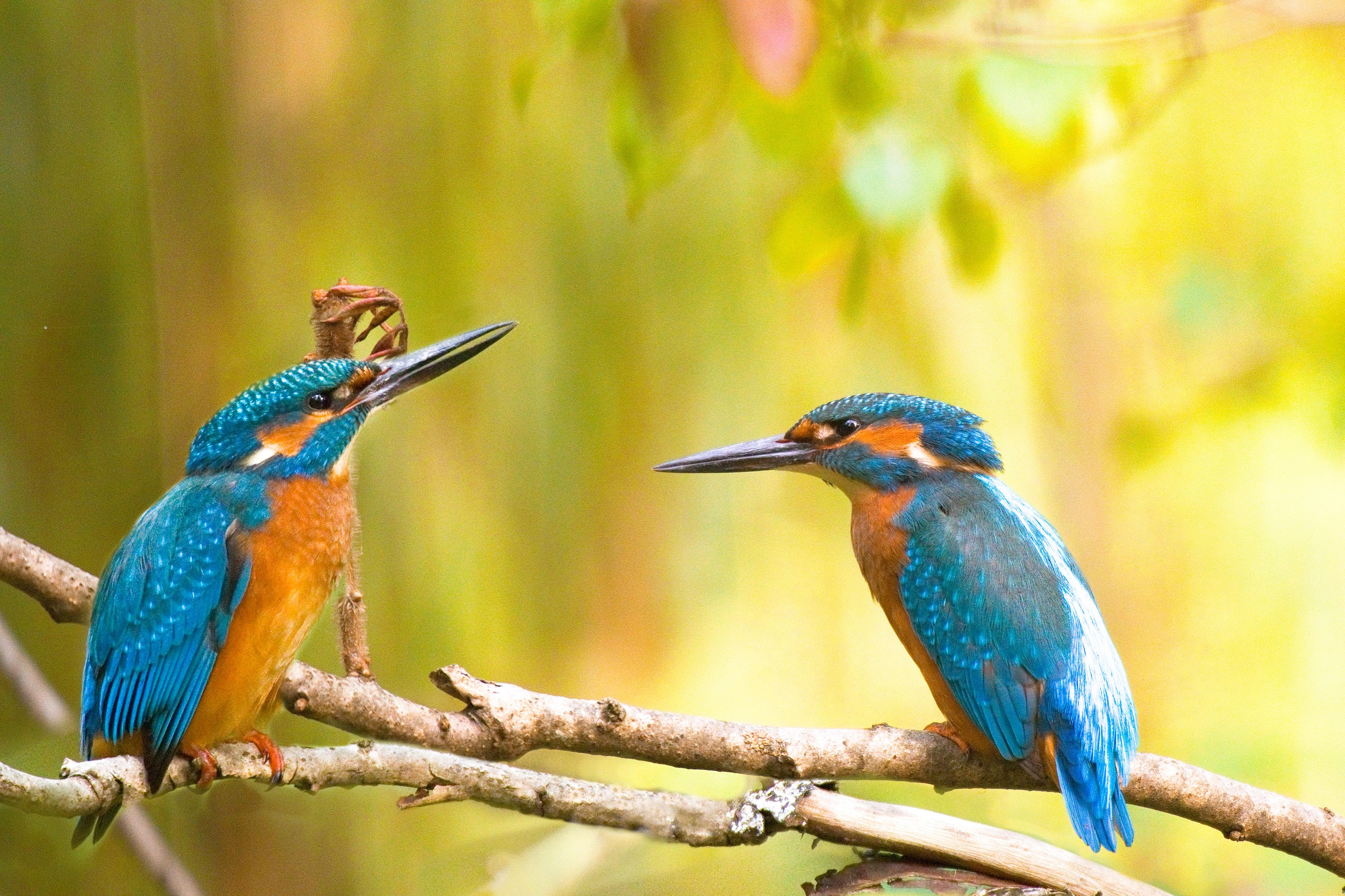 eisvögel retuschejpg.jpg