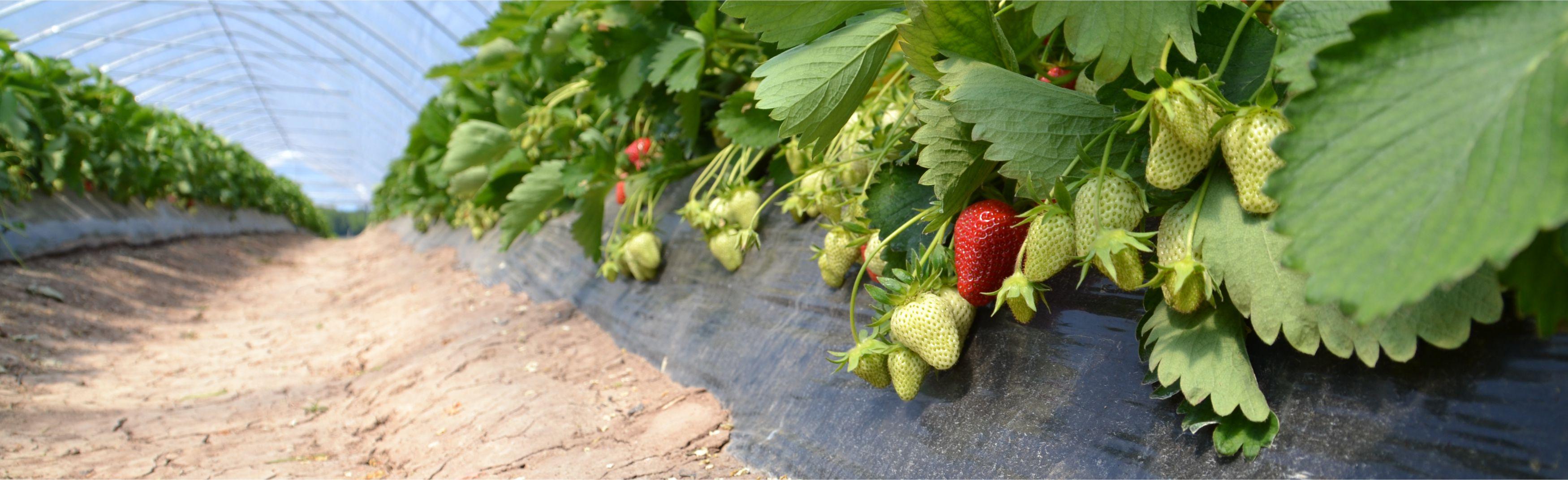 Header_Erdbeeren.jpg
