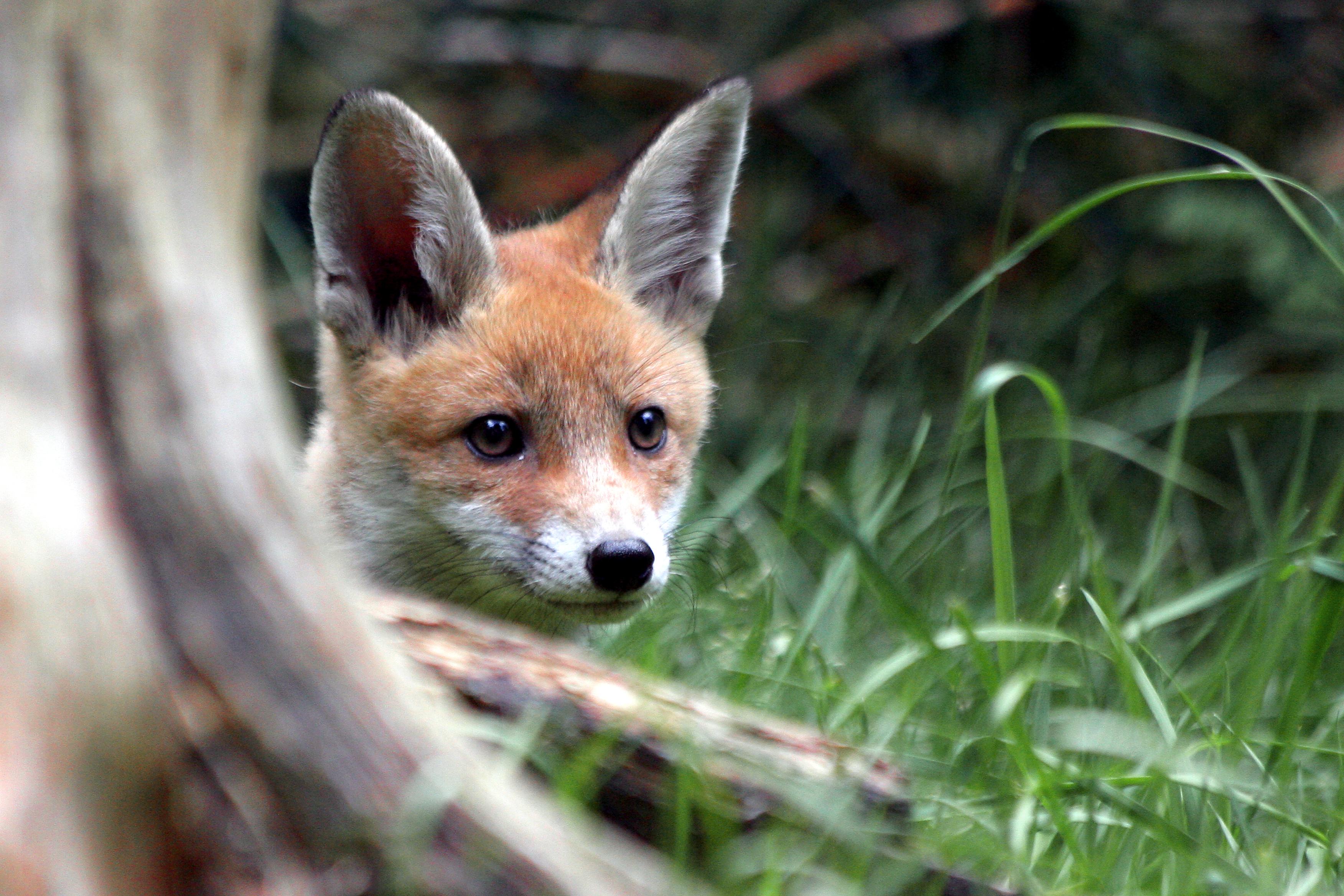Fuchs im Tierpark Thale