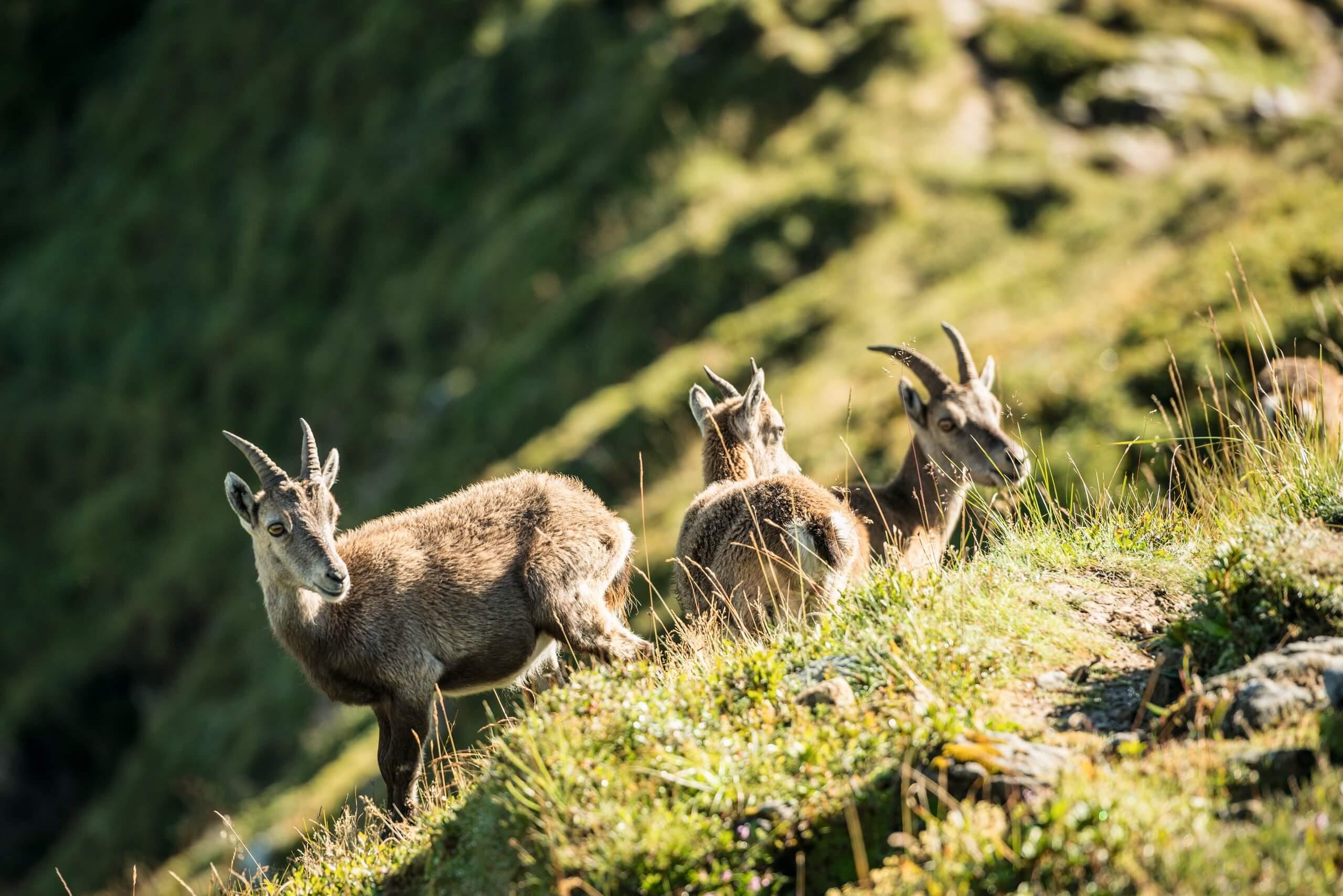 niederhorn-wildbeobachtungen-herbst-steinboecke-jung