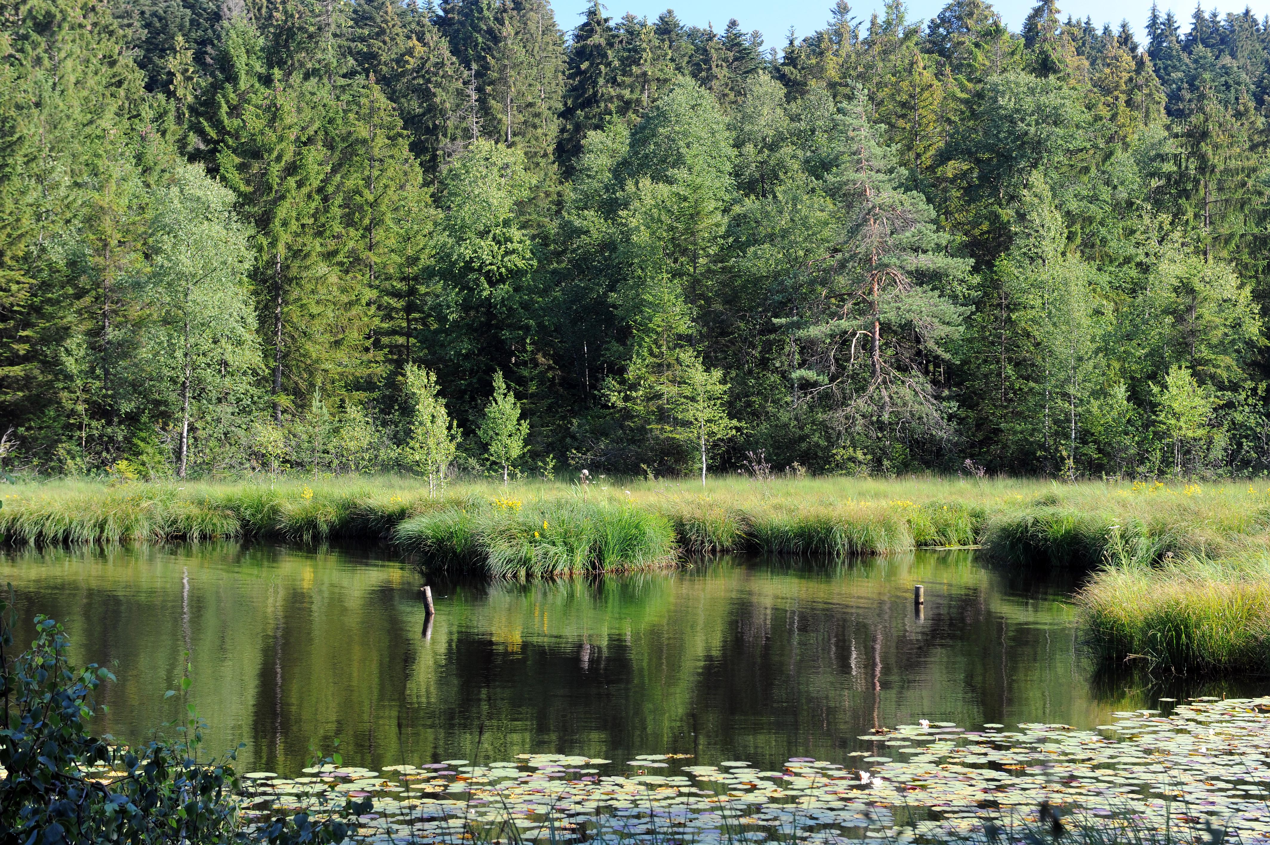 waldsee_seerosen-thomasgretler