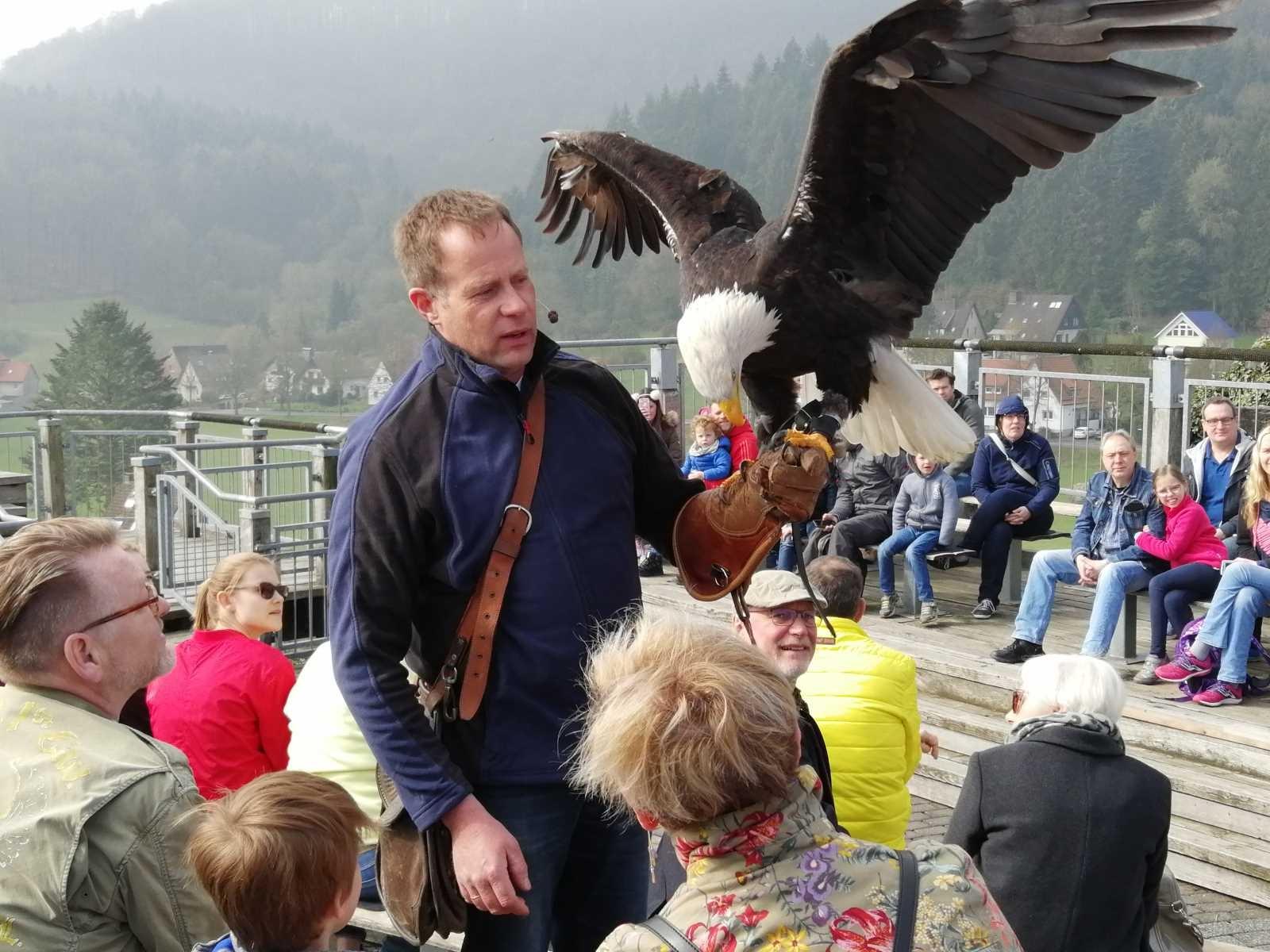 Weißkopfseeadler Diva mit Falkner Hansen auf der Adlerwarte Berlebeck