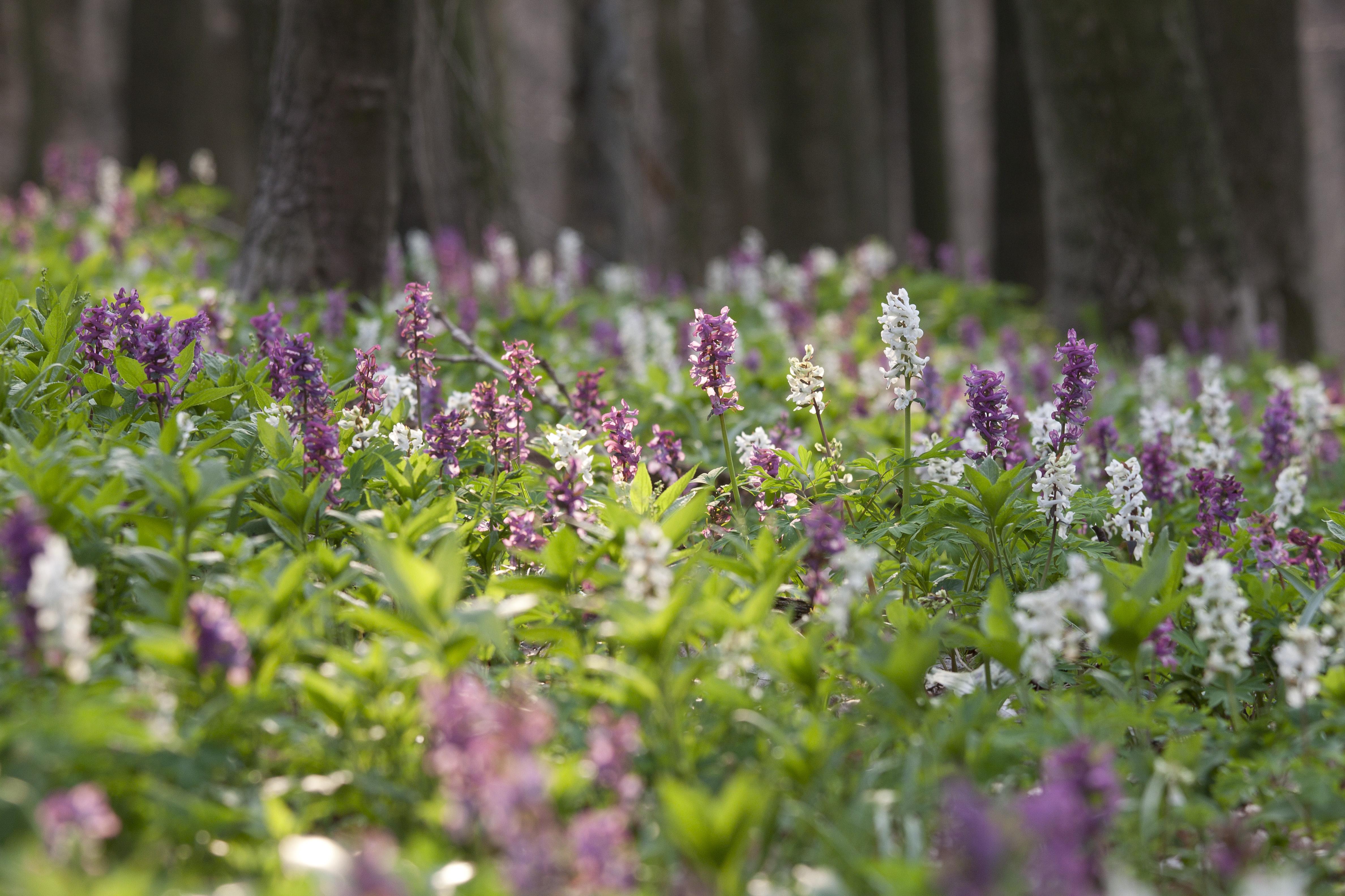 Ein Naturschauspiel der besonderen Art ist die Lerchenspornblüte im Frühjahr