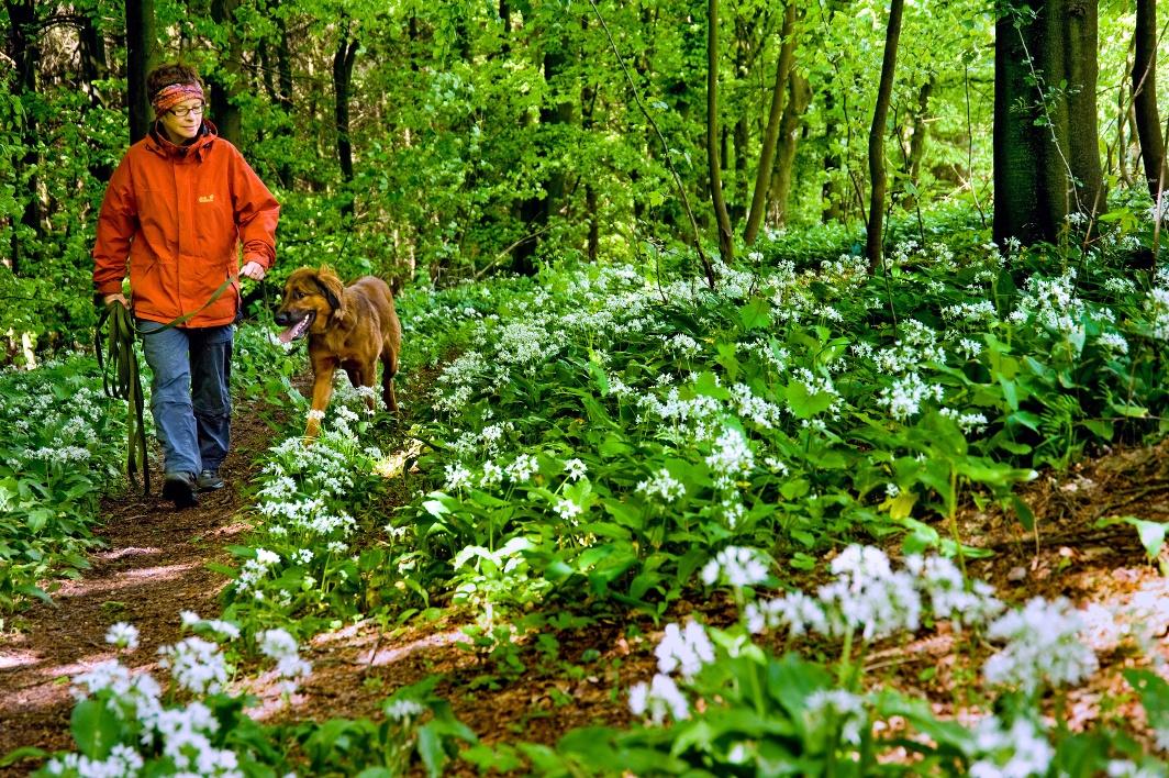 Die üppige Bärlauchblüte ist nicht nur ein optischer Genuss - viele Gastronomen kreieren jetzt tolle frische Frühjahrsgerichte mit der Wildpflanze