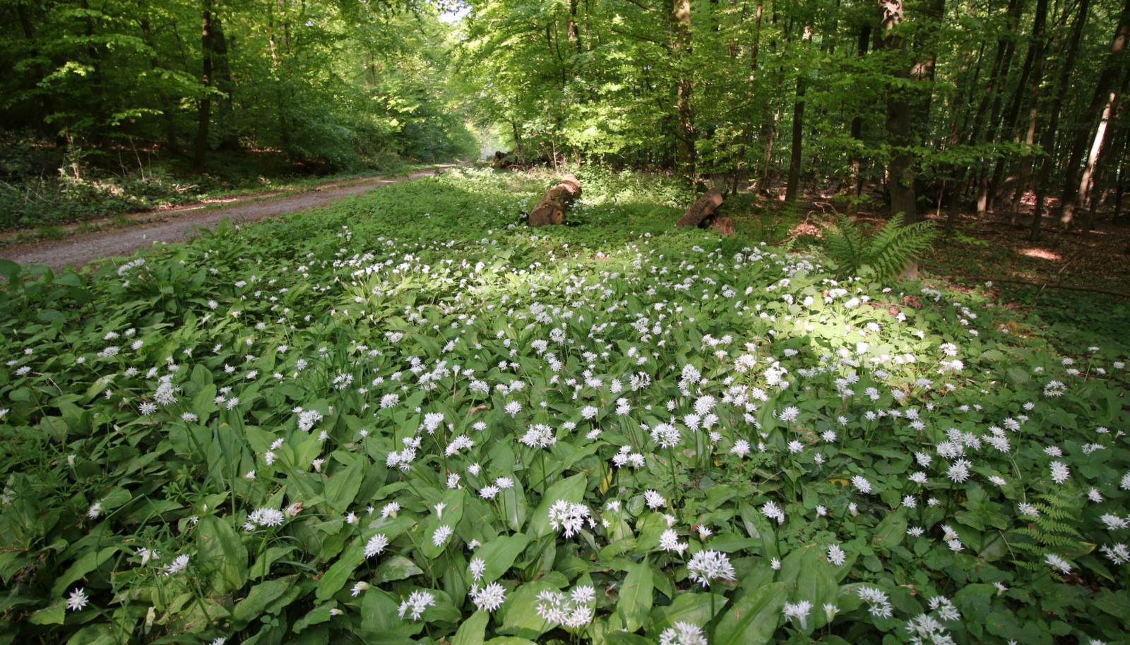 Bärlauchblühte im Wildberg bei Blankenau
