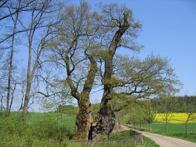 Tausendjährige Rieseneiche in Borlinghausen