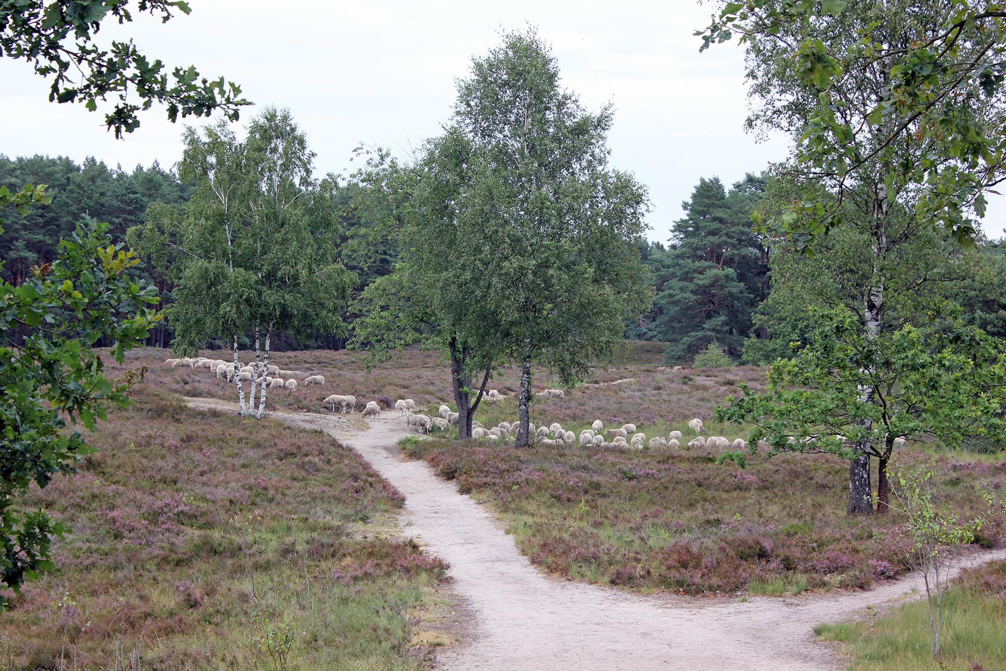 Heidschnuckenherde Gifhorner Heide